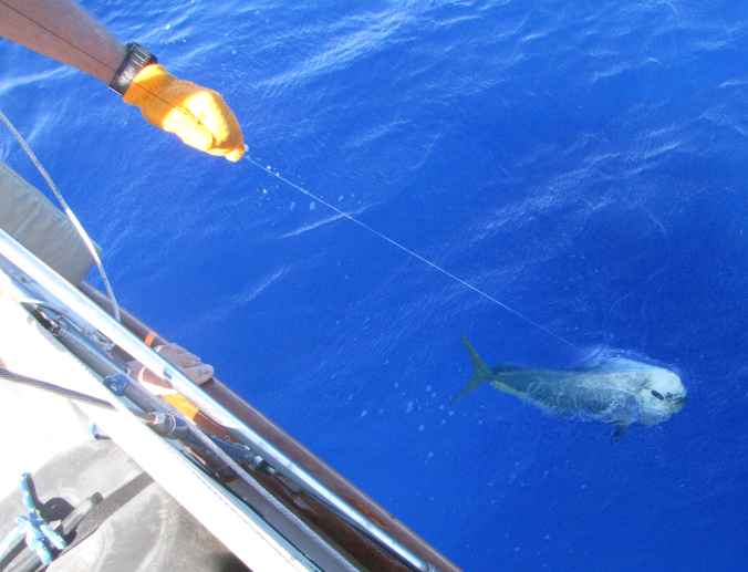 I prefer to handline the fish in the last few feet and then hoist it aboard.