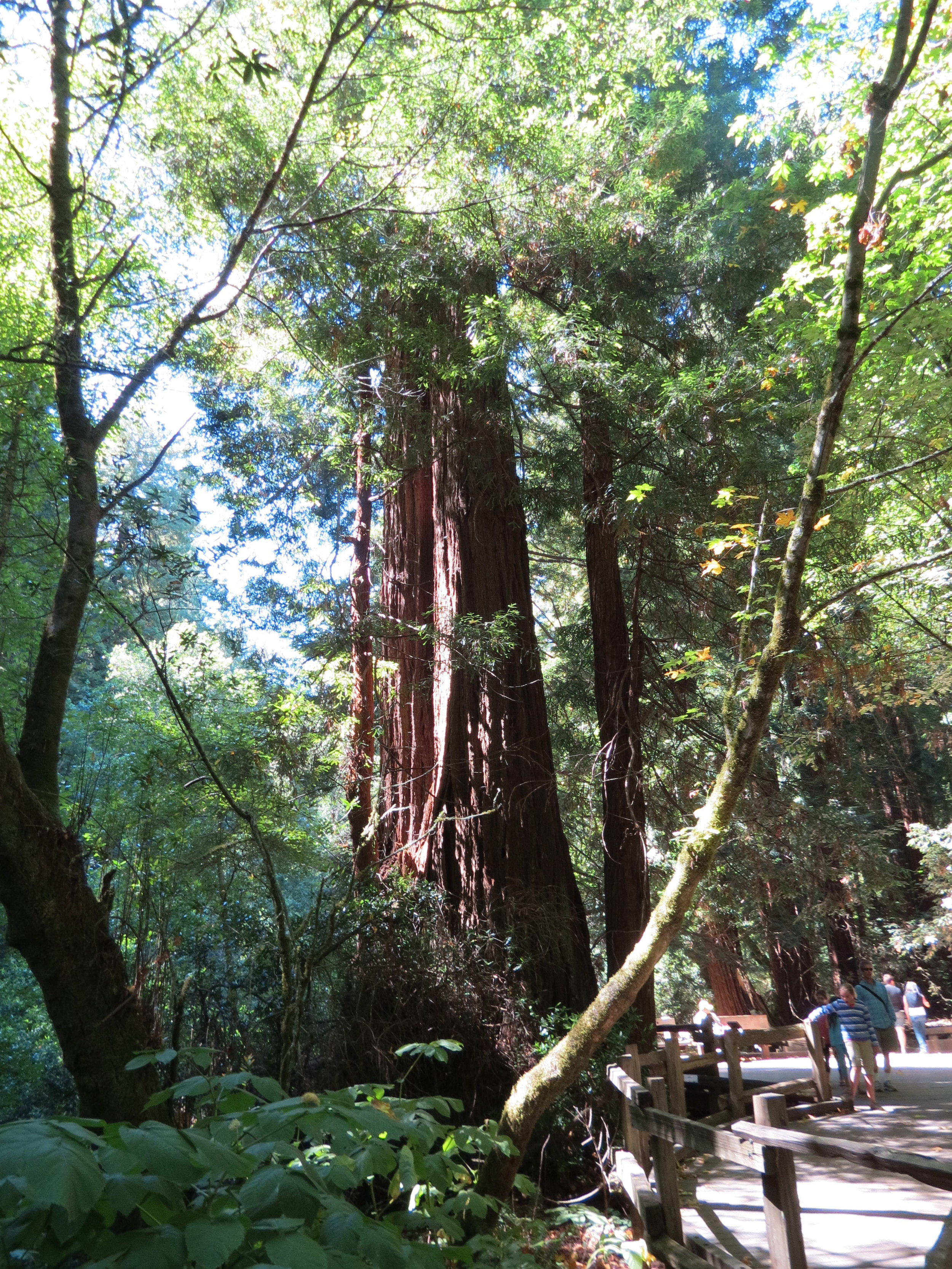 muirs woods national monument   - California - 2012 - walking amongst the giant redwoods