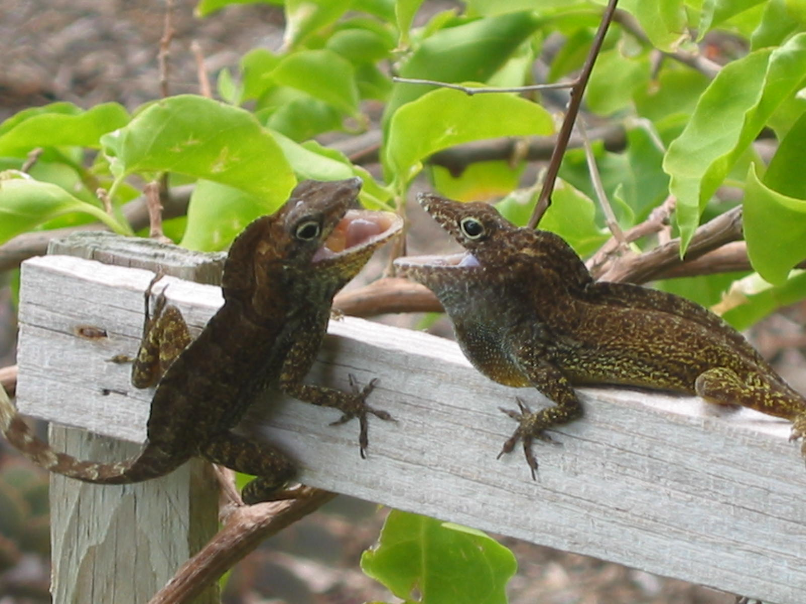 Dueling lizards at Grand Turk Museum were quite a spectacle.