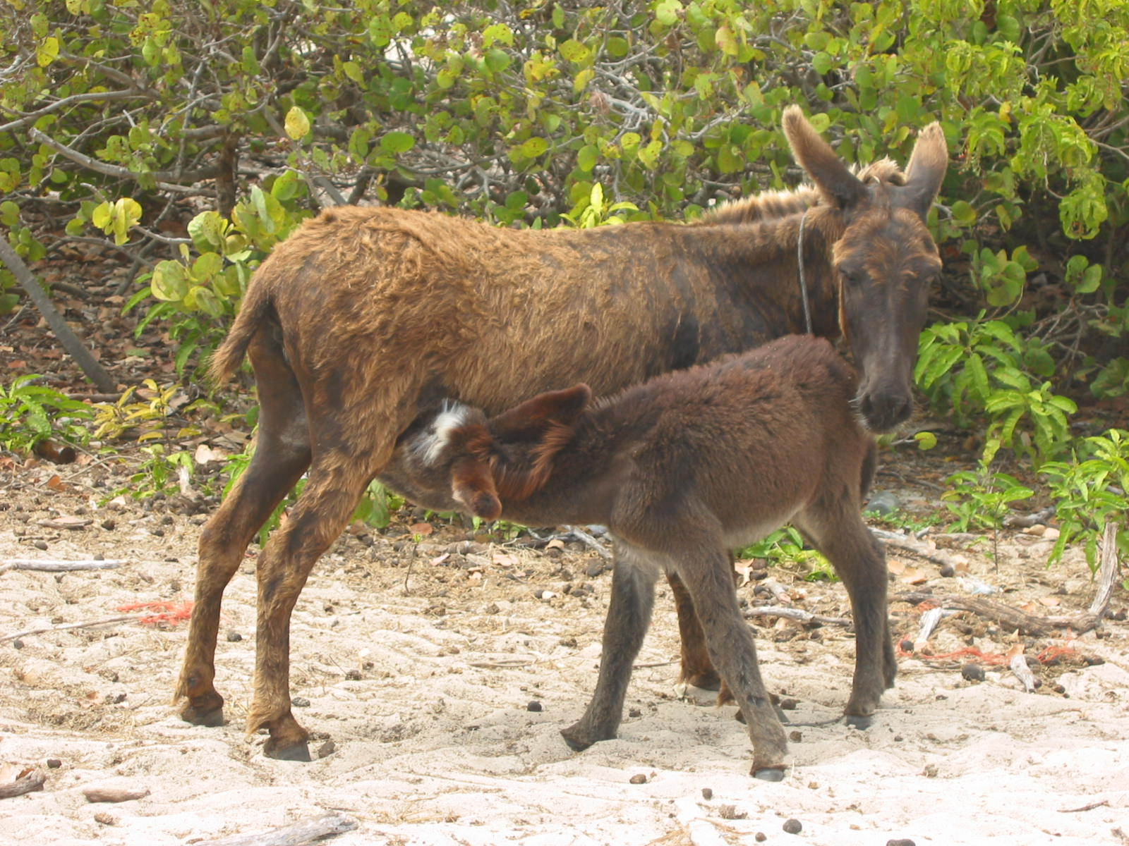 Donkeys are feral on Grand Turk.