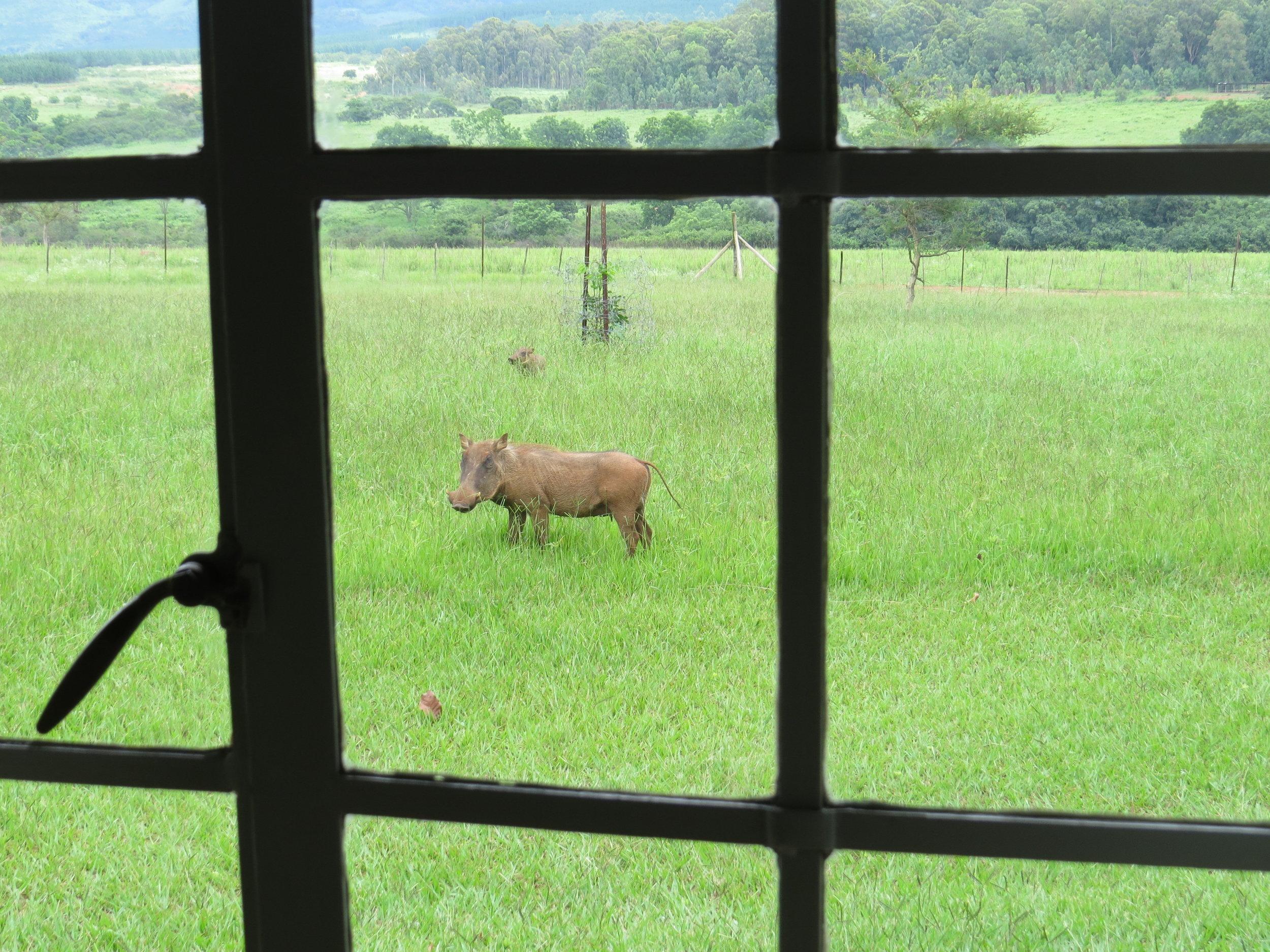 We were warned to keep the bottom of the hut's dutch door shut ... warthogs were everywhere!