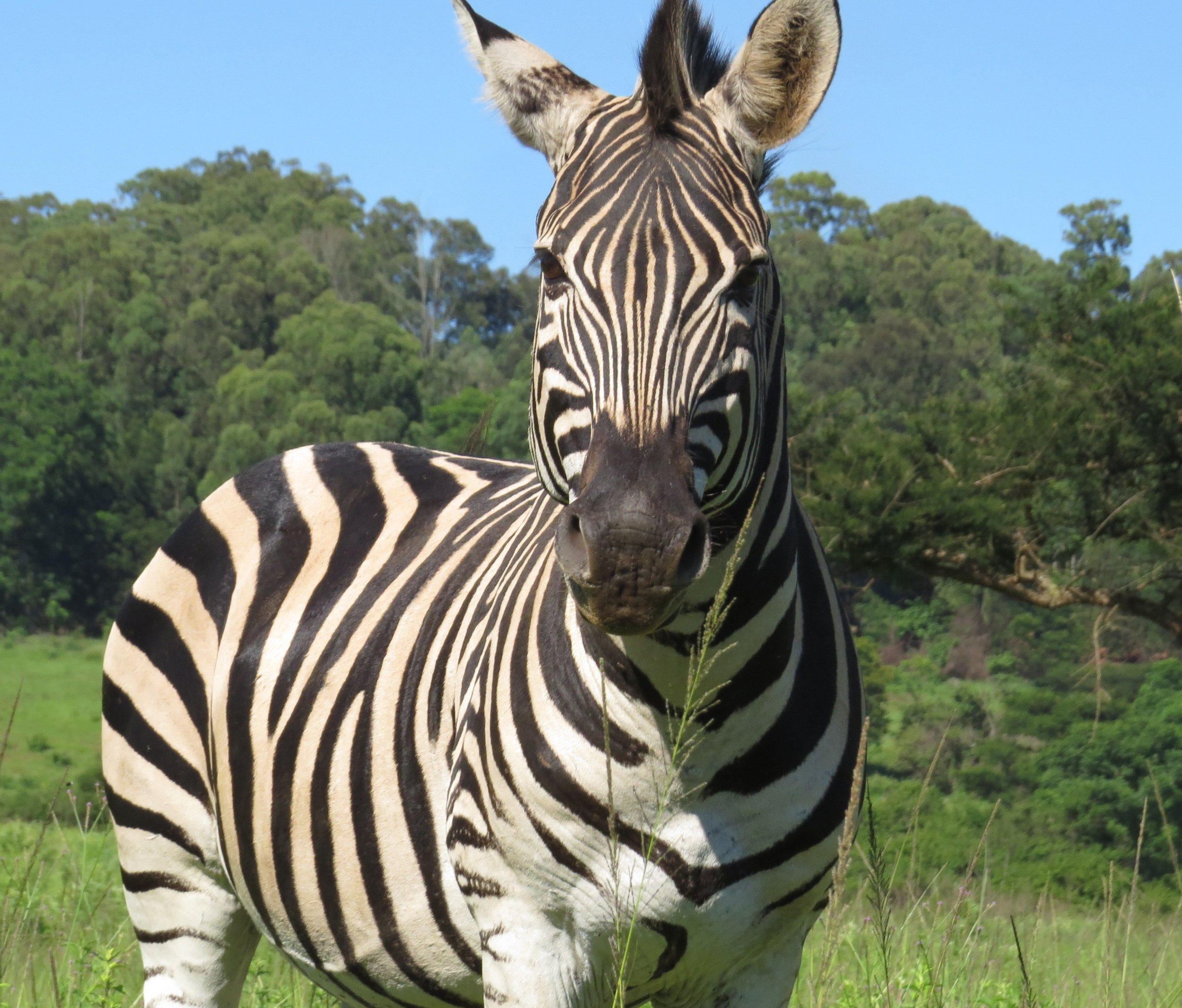 Zebras showed no fear