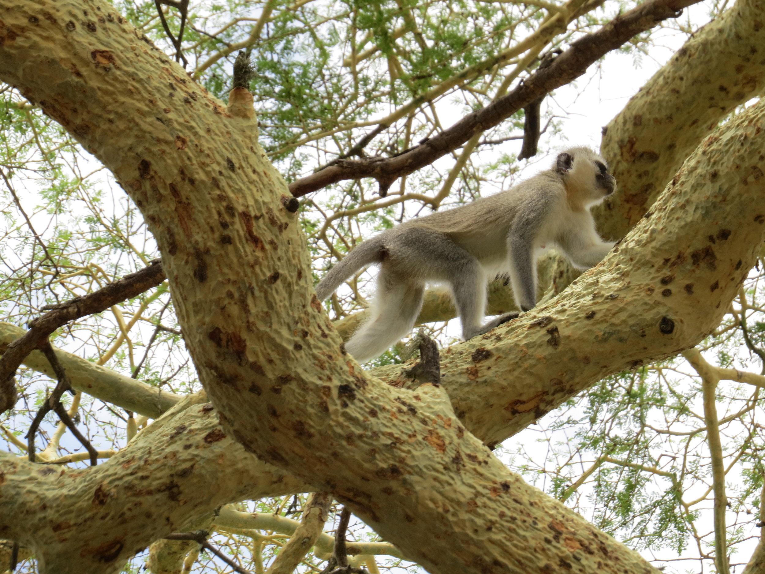 Vervet monkeys kept tabs on us