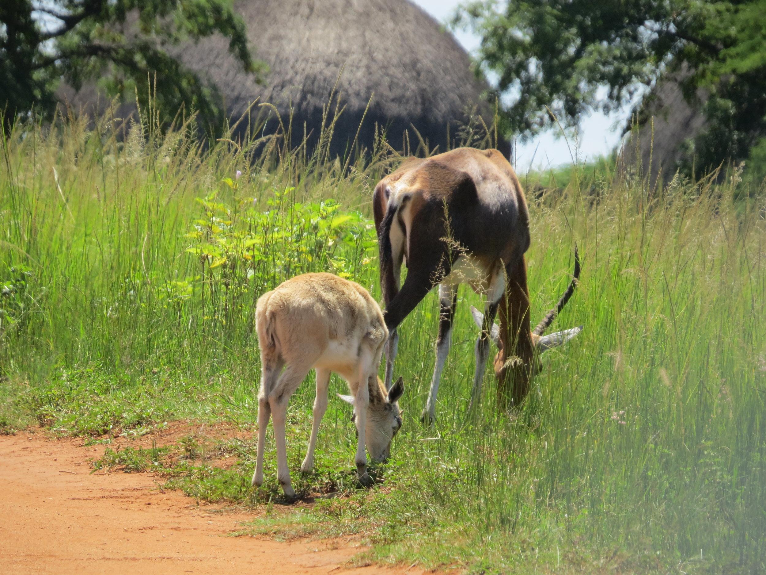 Bontebok roamed the park