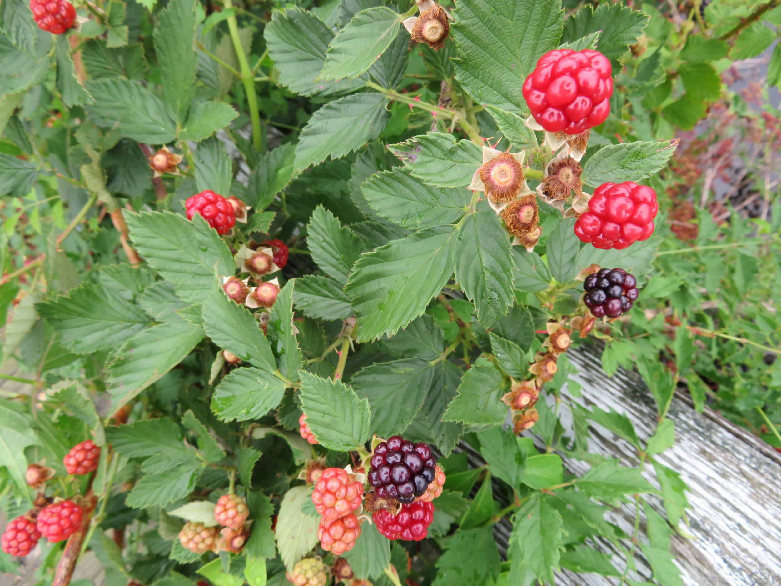 Blackberries are ripe and juicy.