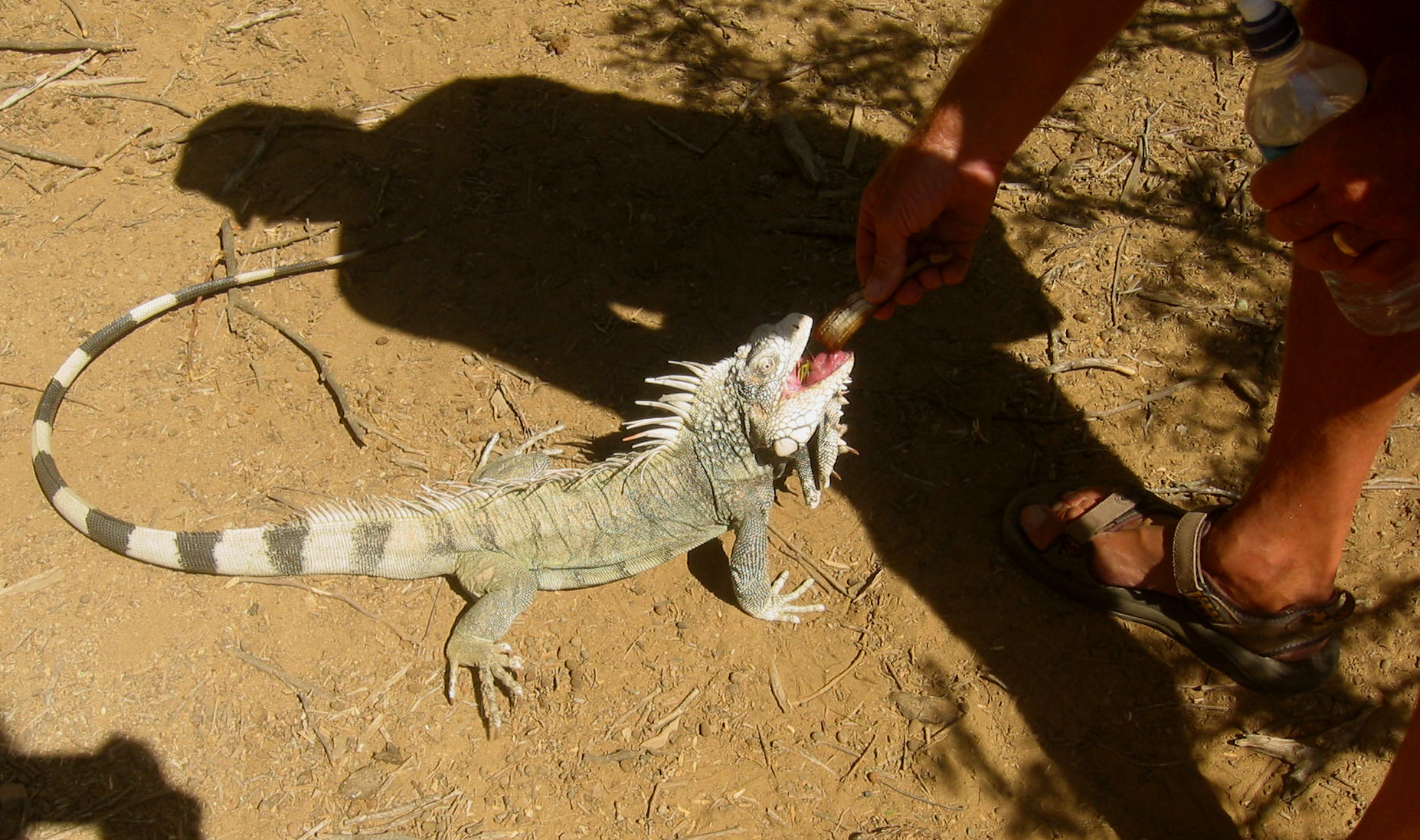 Feeding iguanas ... not for the timid