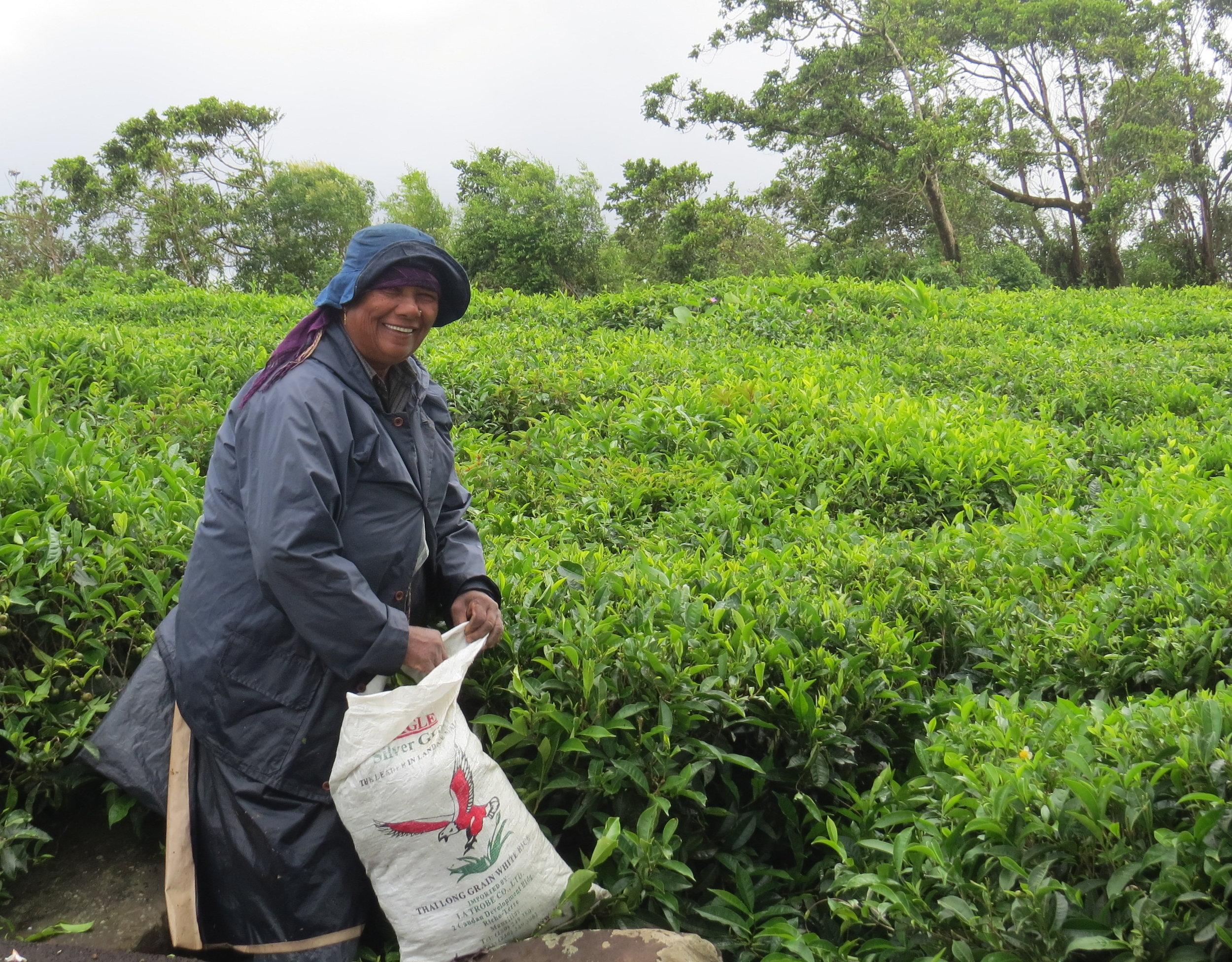 Friendly worker picking tea leaves in the Bois Cheri Factory fields.