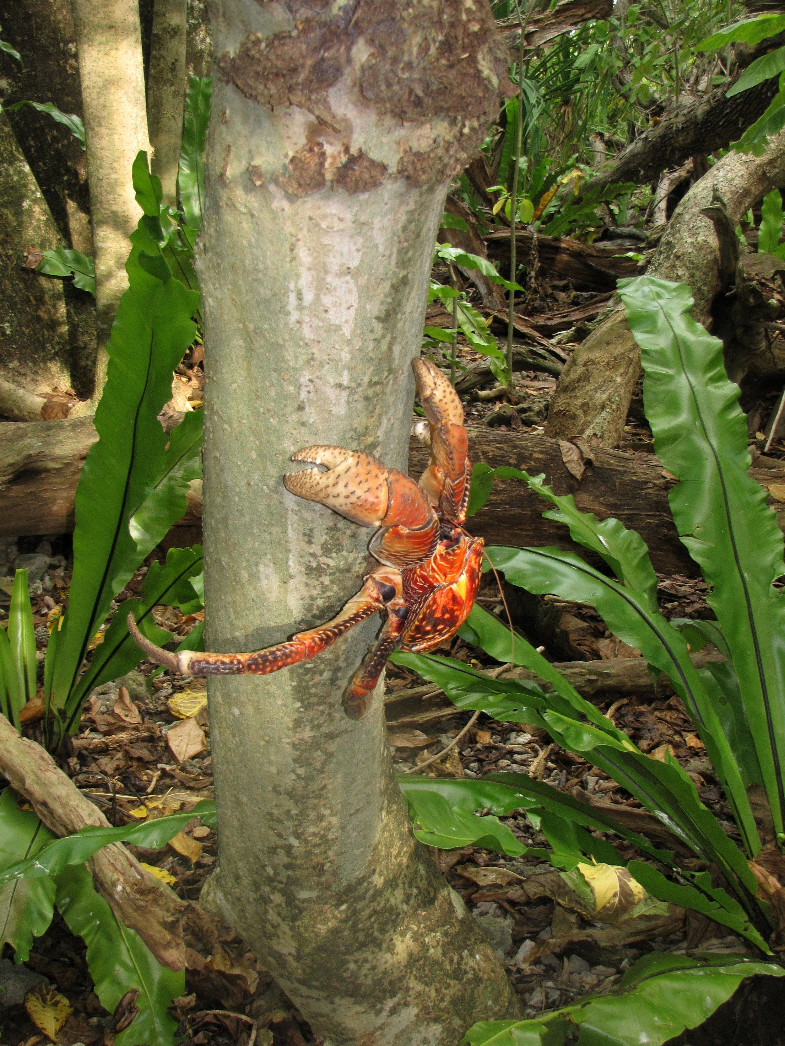Coconut crab climbing a tree