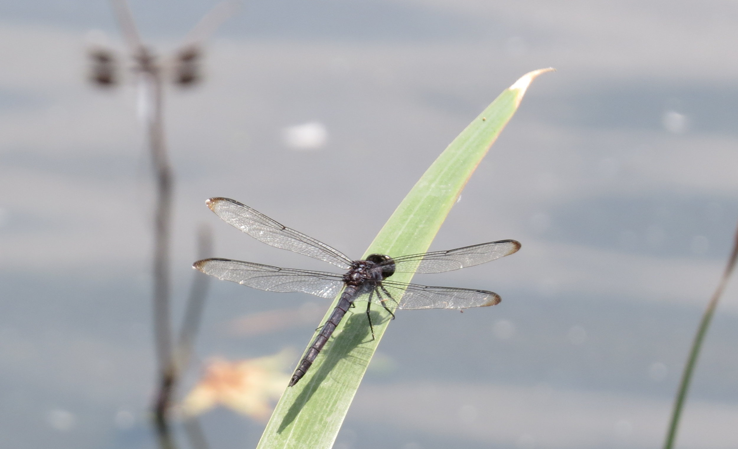 Dragonflies rest