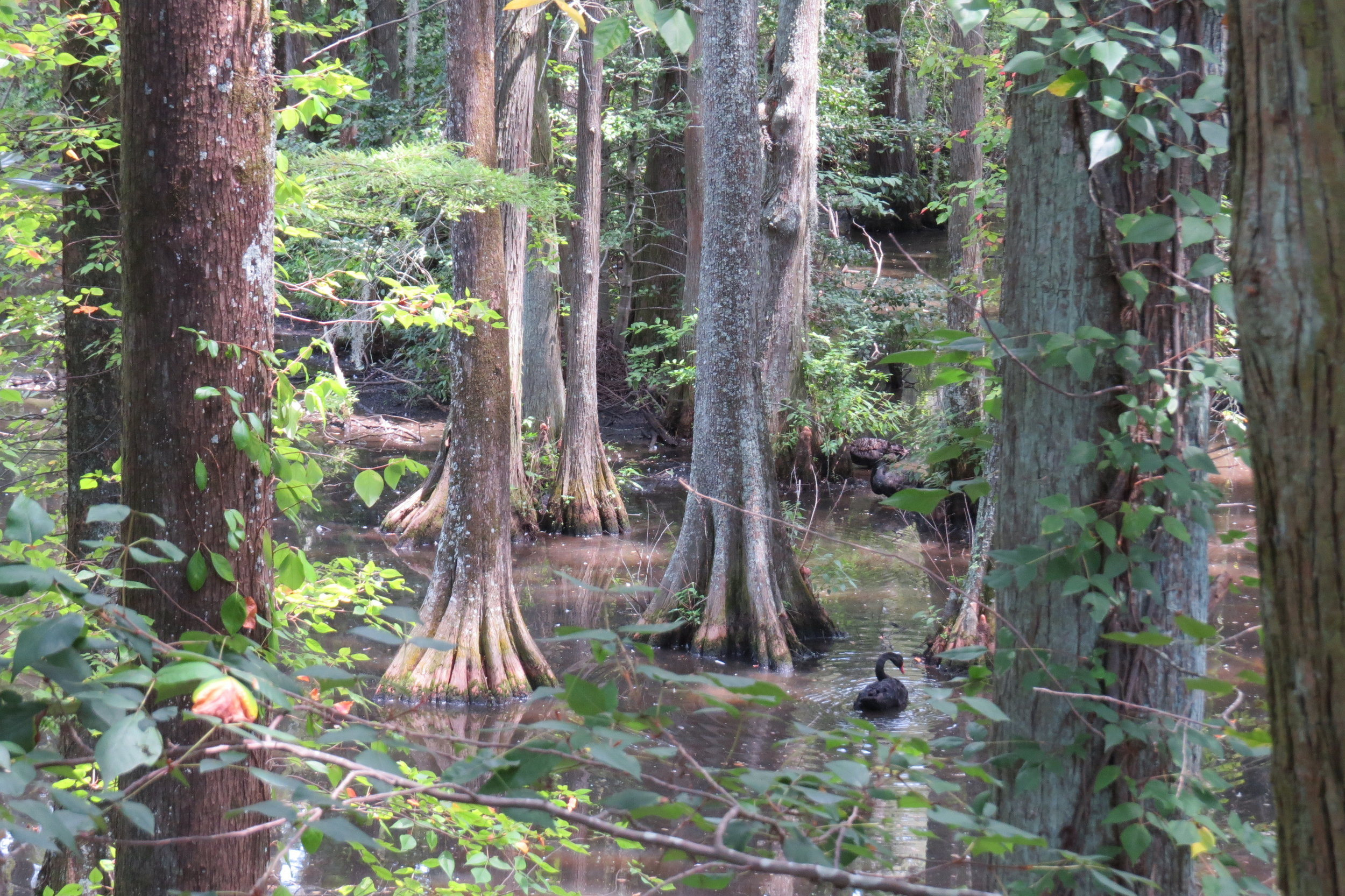 A cypress swamp provides a protected haven for the swans.