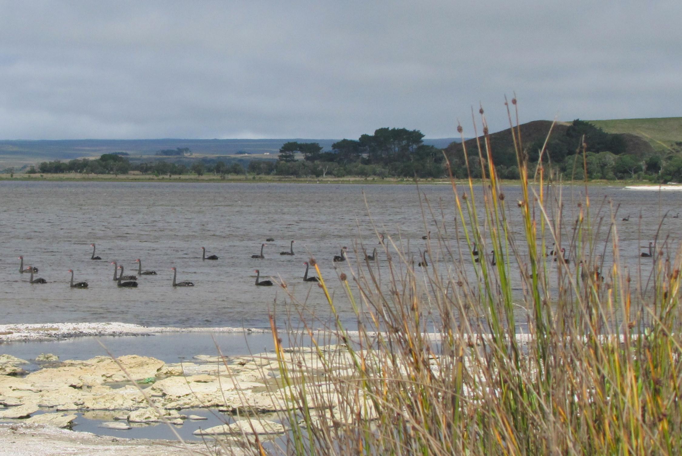 Black swans were in abundance in the lagoon.