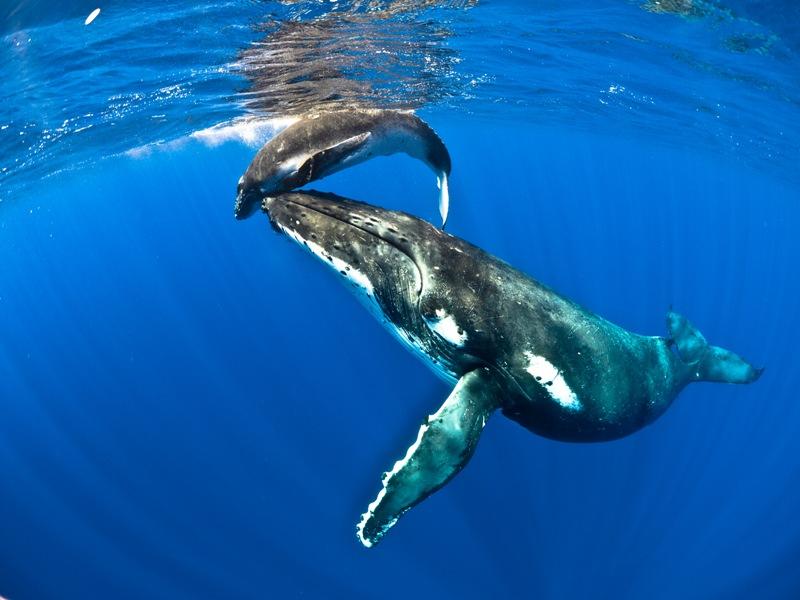 Humpback whales visit often