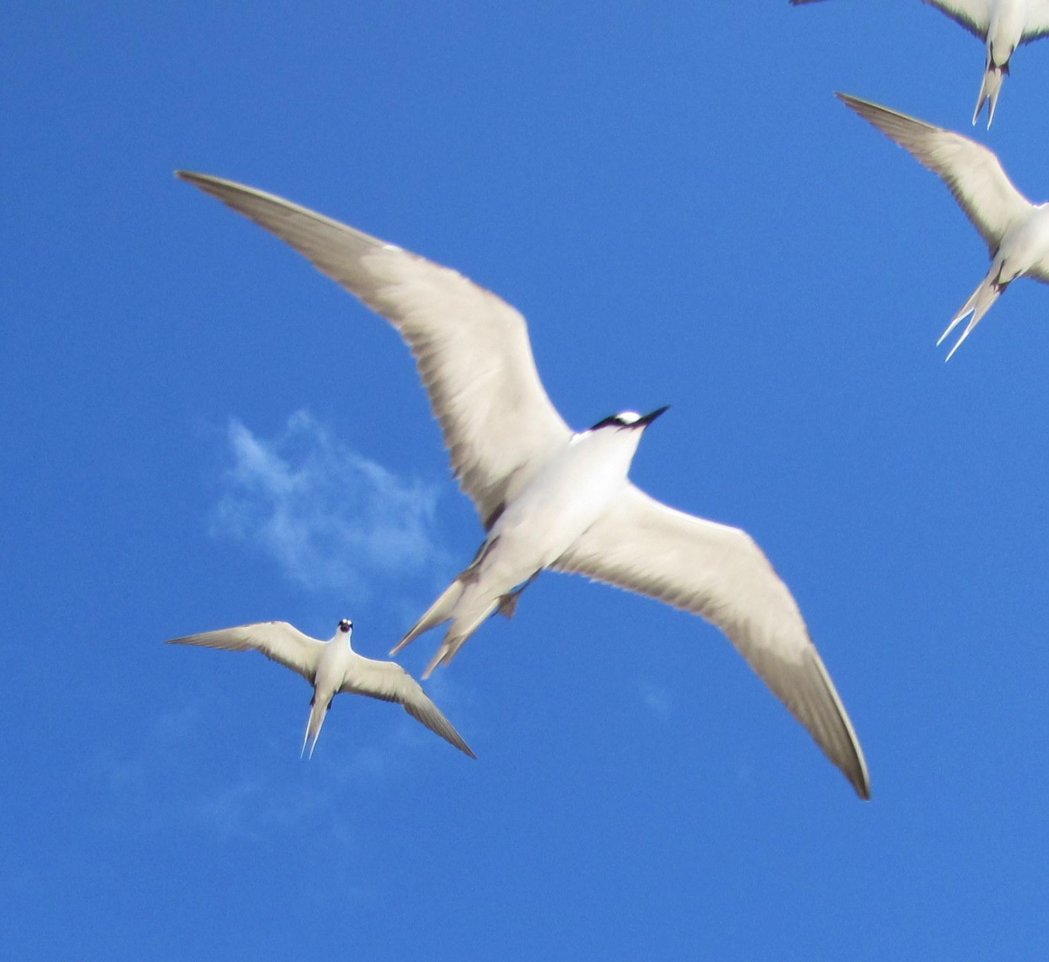 Sooty terns overhead