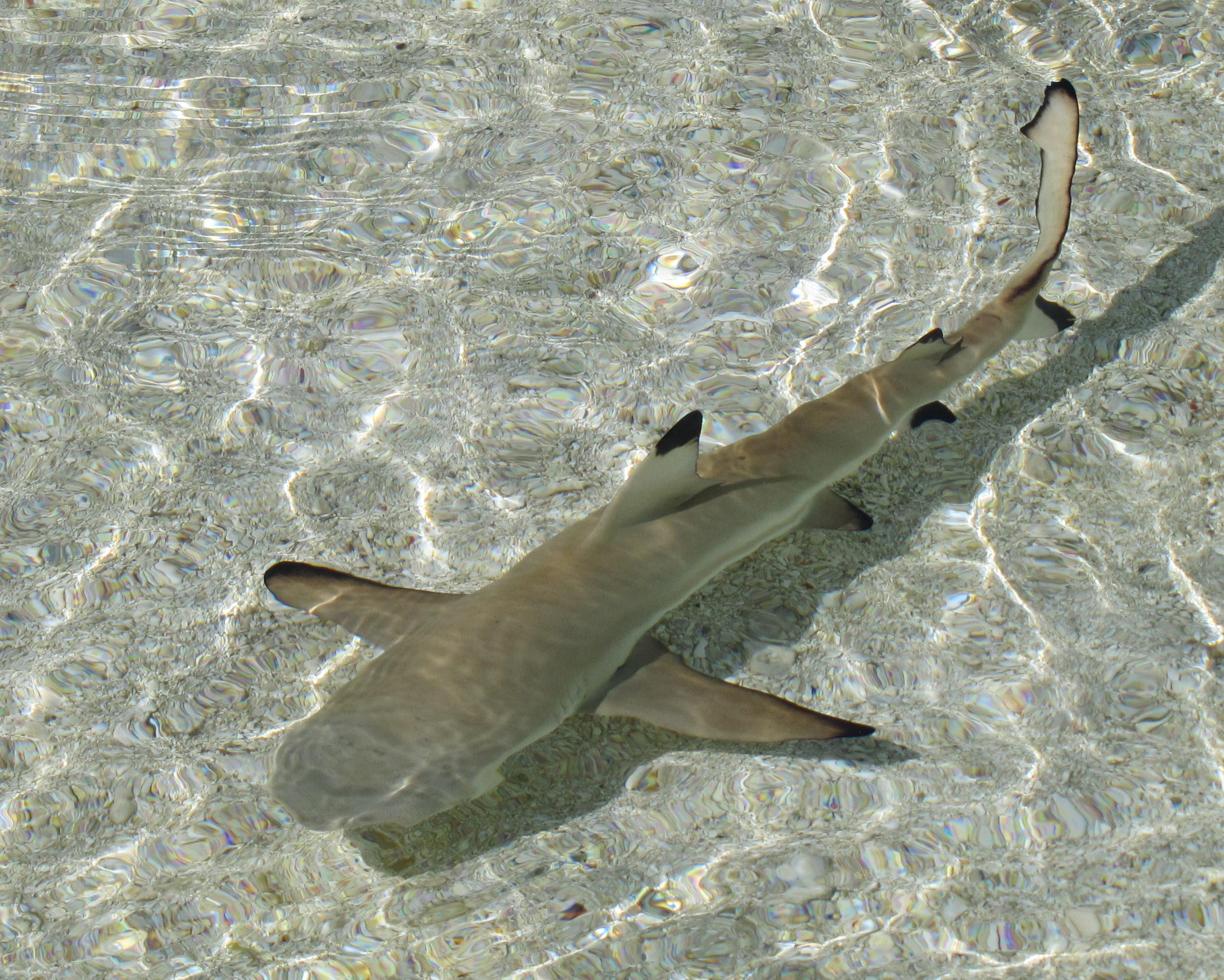 Black-tipped shark