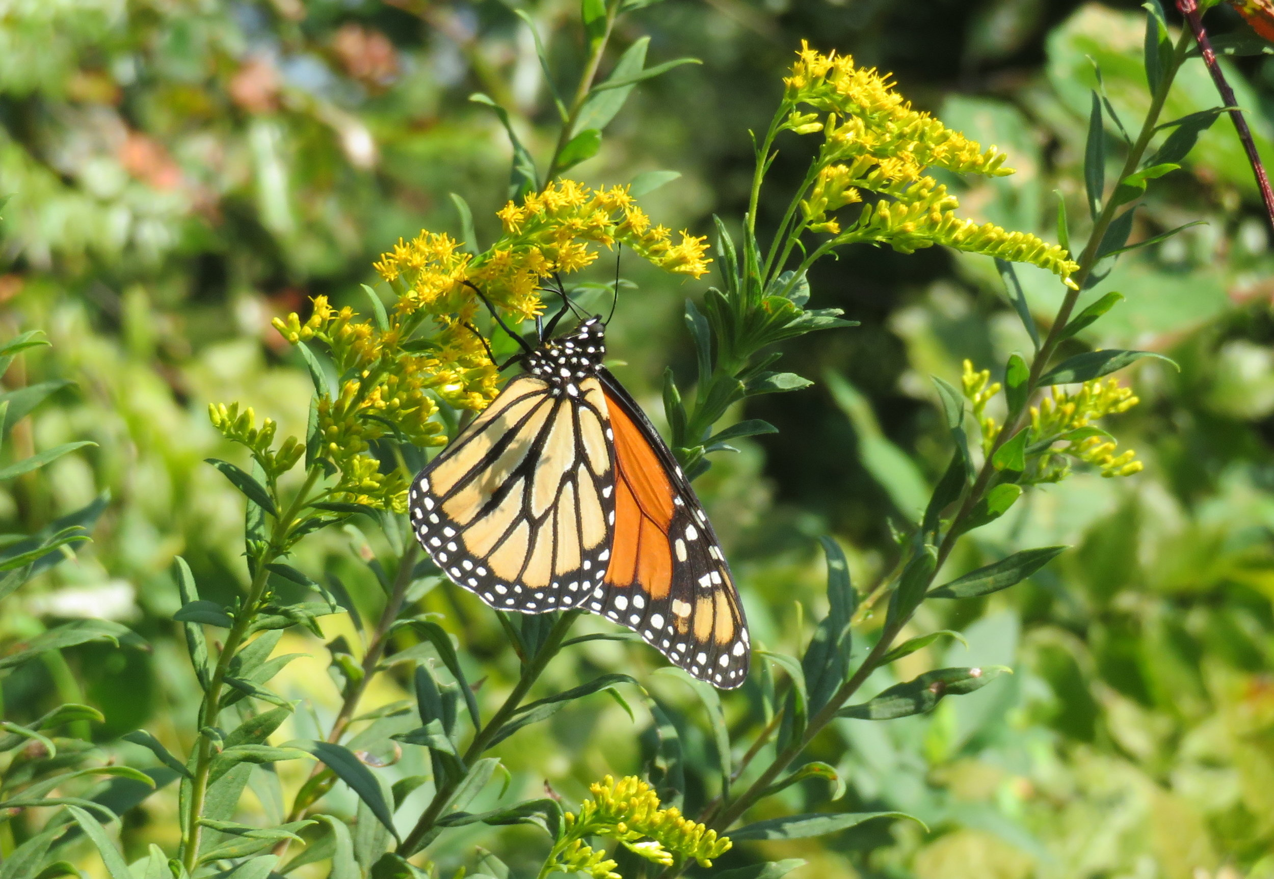 We were just in time for the beginning of the annual Monarch migration. These guys travel from Canada to Mexico this time of year.