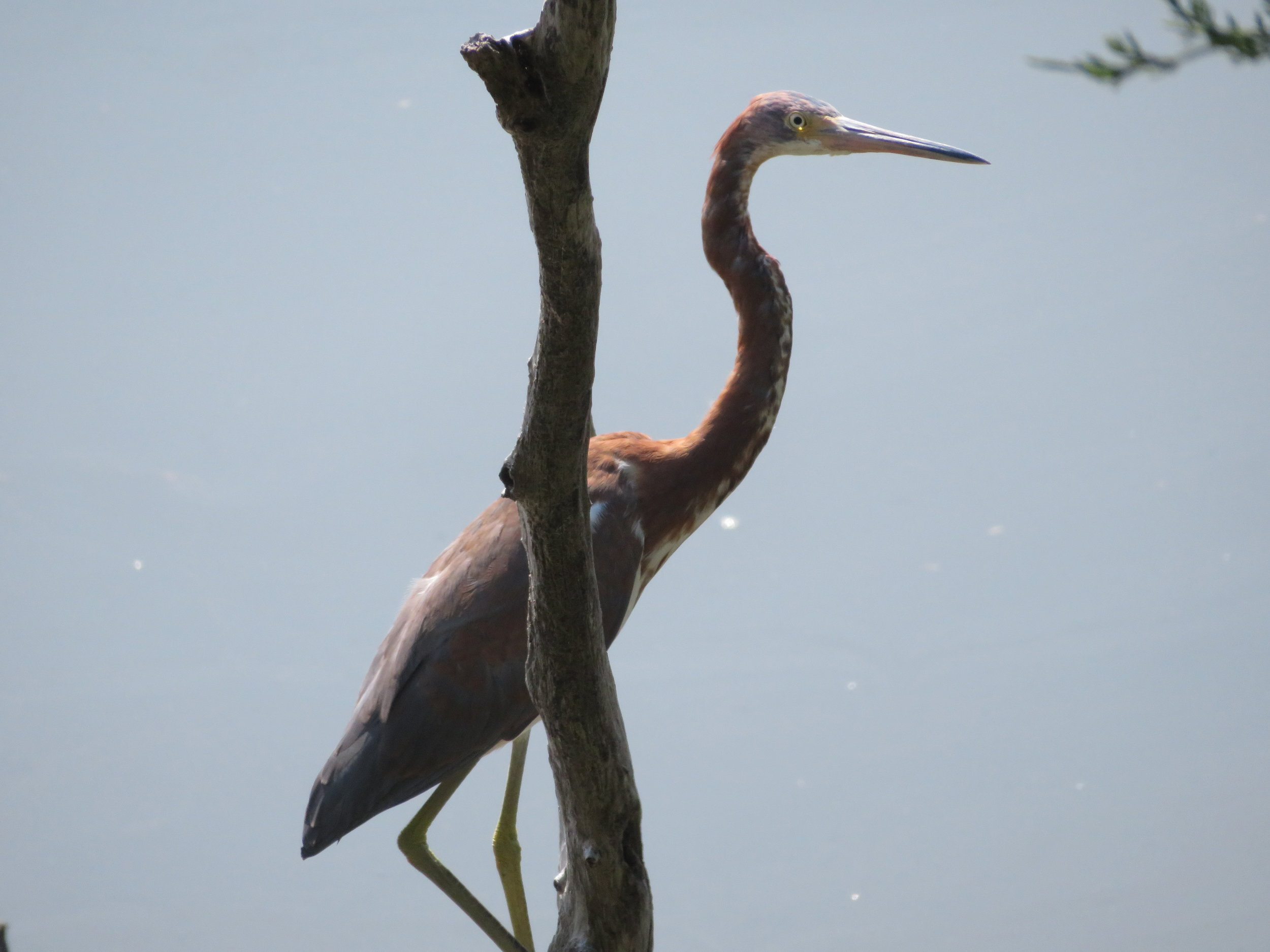A juvenile tri-color heron waits patiently for an early morning snack.