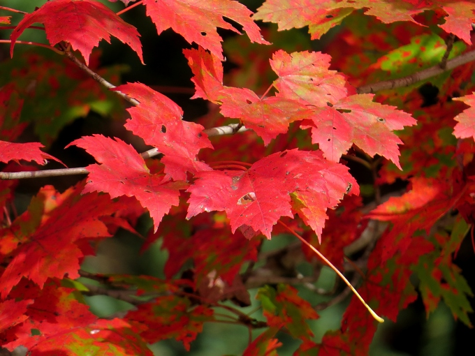 Autumn leaves in vibrant hues of scarlet, gold, orange, yellow and green. It takes your breath away!
