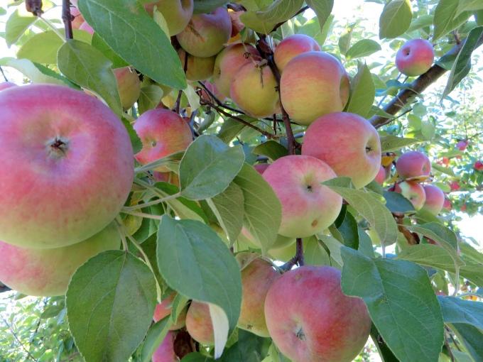 apple_picking_heavy branchest.jpg