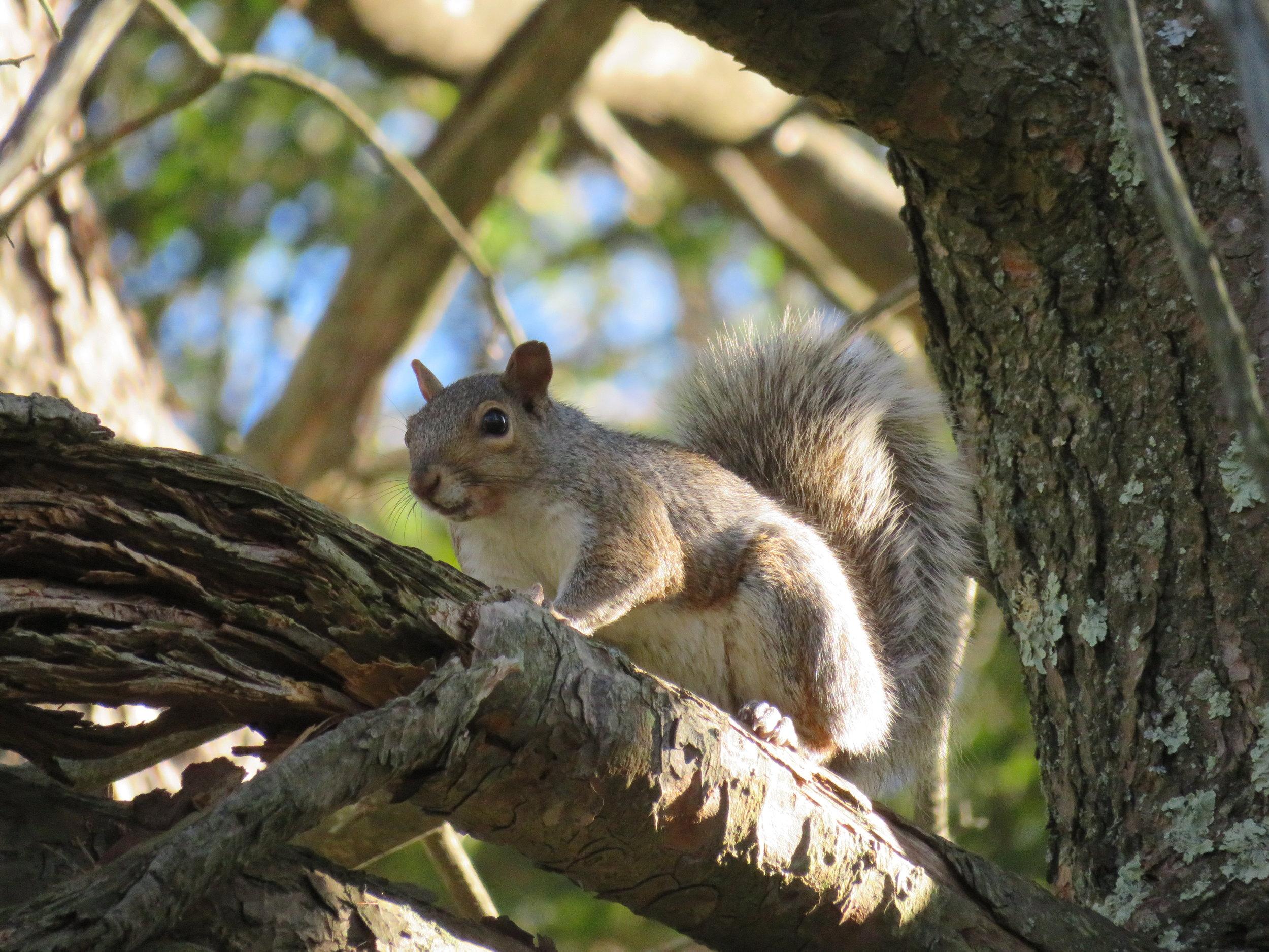 alone_squirrel up tree.JPG