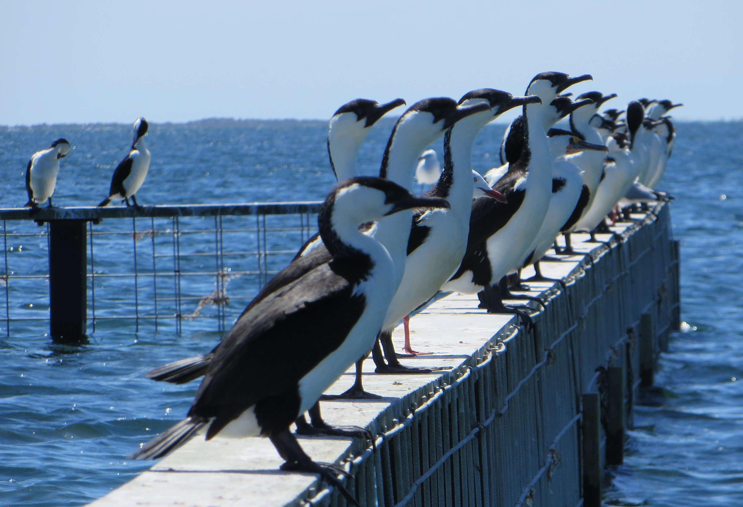 Black-faced cormorants line the rail