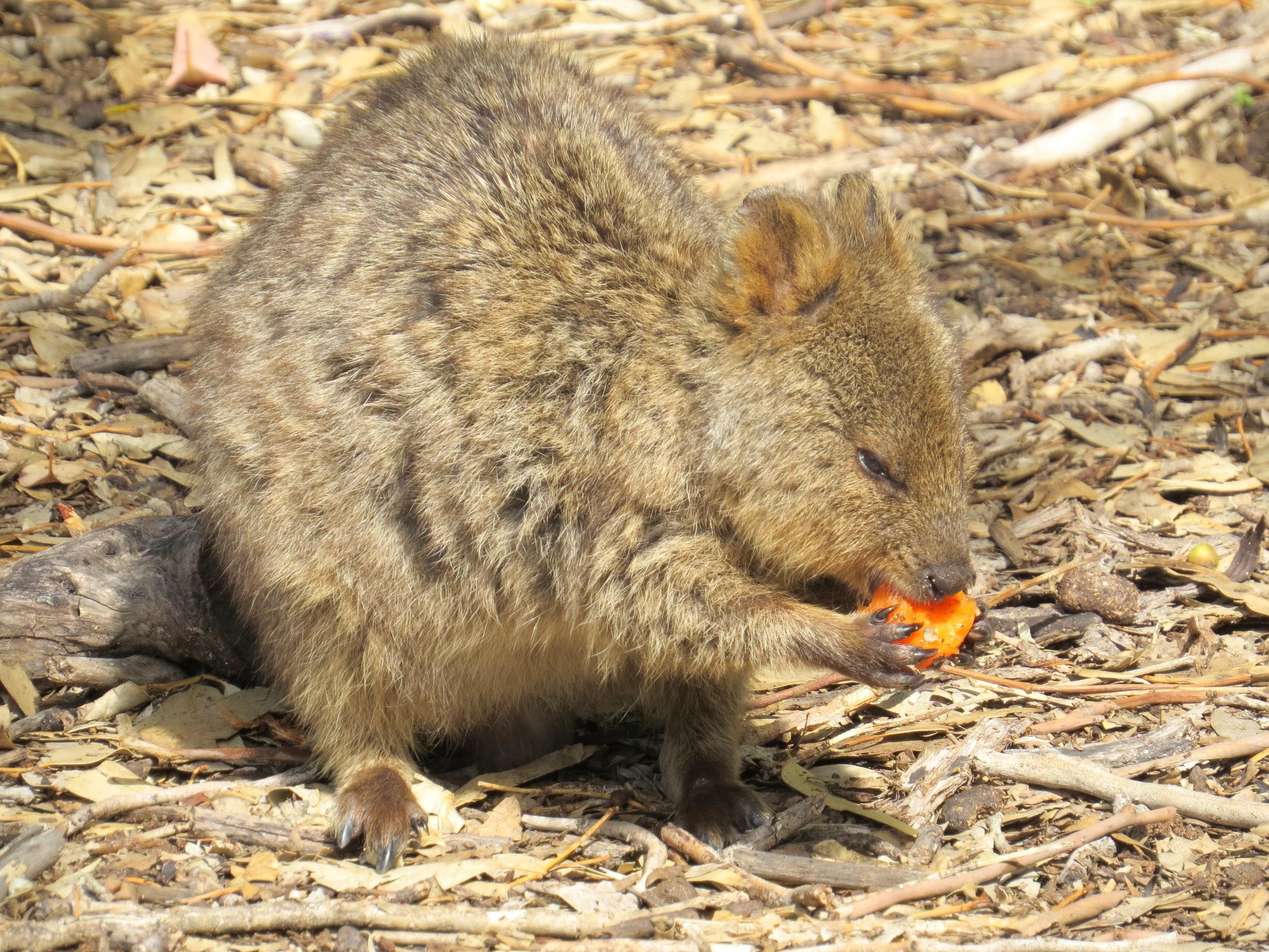Meet Rottnest Island's most celebrated inhabitant ... the quokka