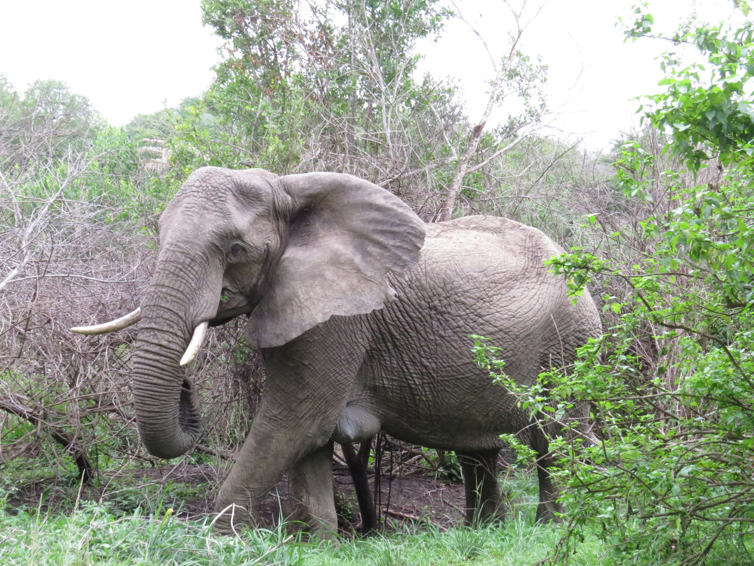Elephant crashes out of forest at Hluhluwe