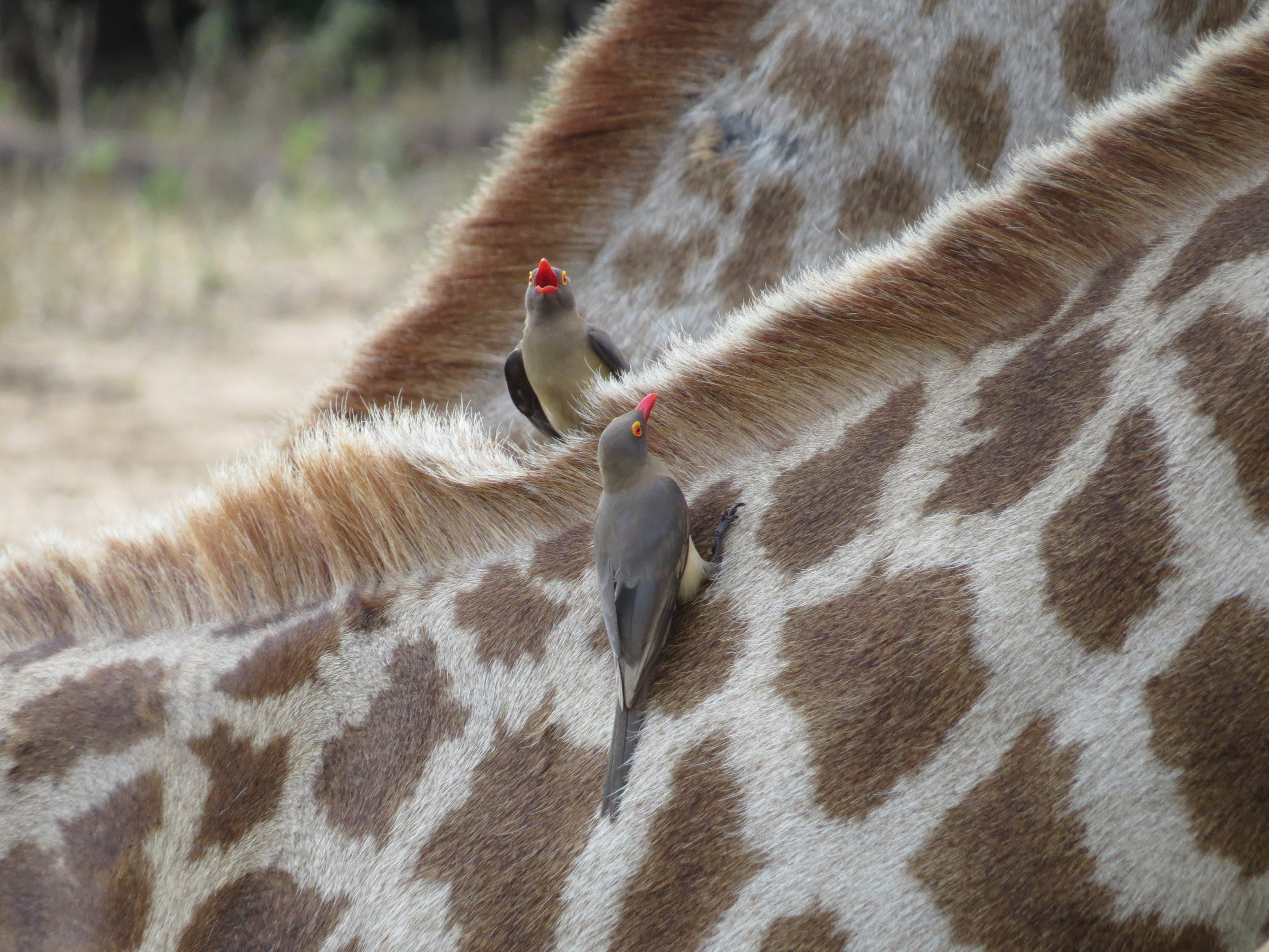 Oxpeckers catch a ride at Mkuse
