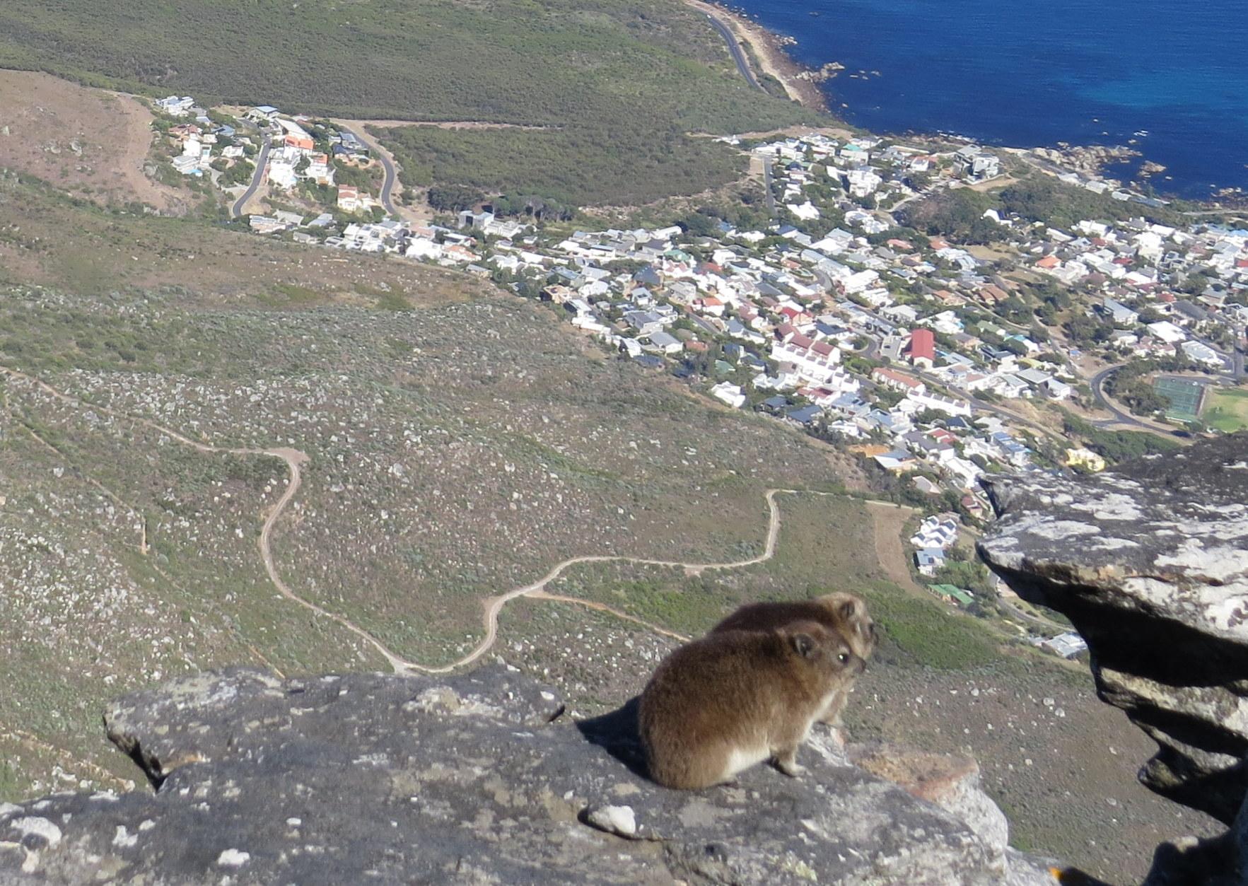 Dassie on Table Mountain