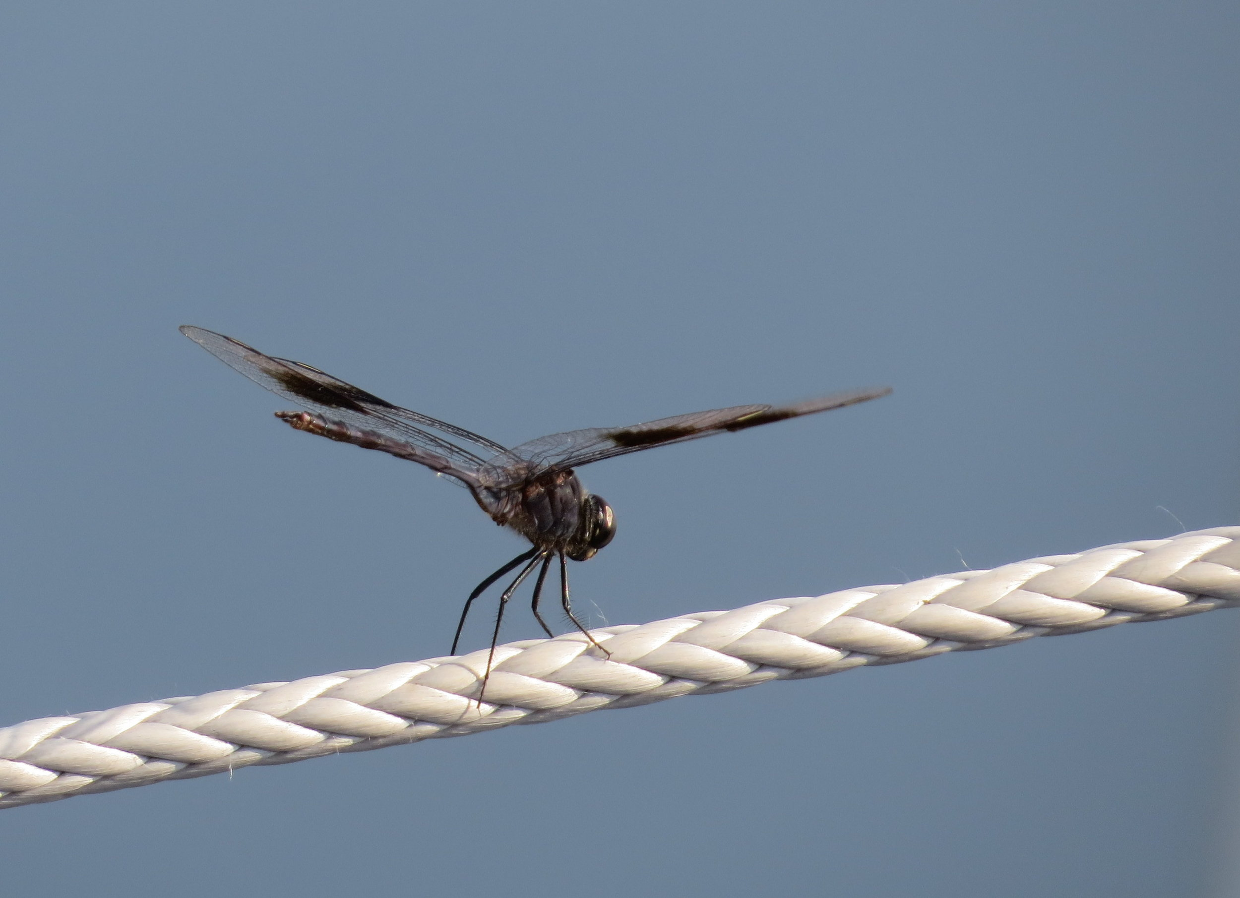 Dragonflies the size of hummingbirds