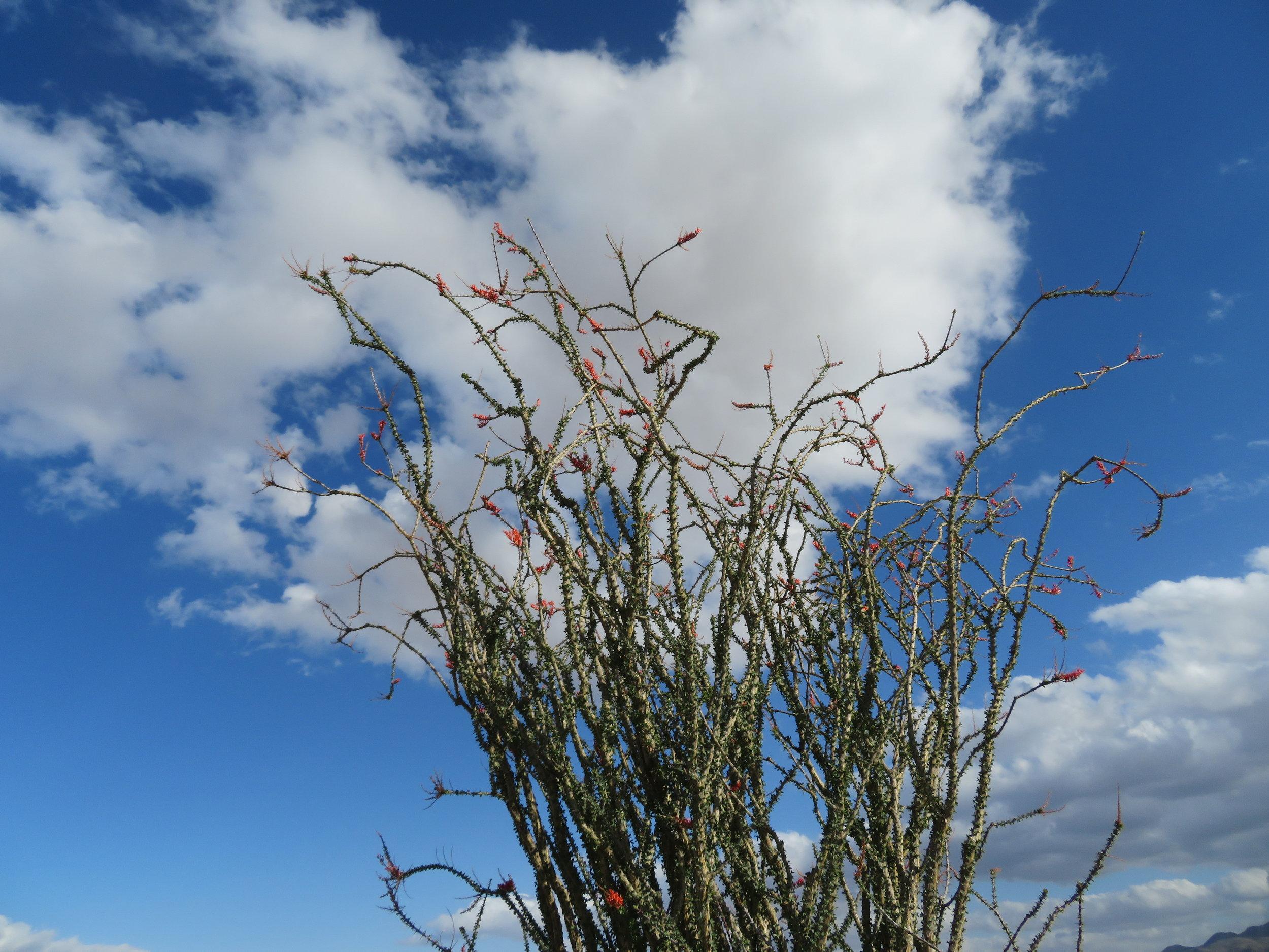 Ocotillo starting to blossom.
