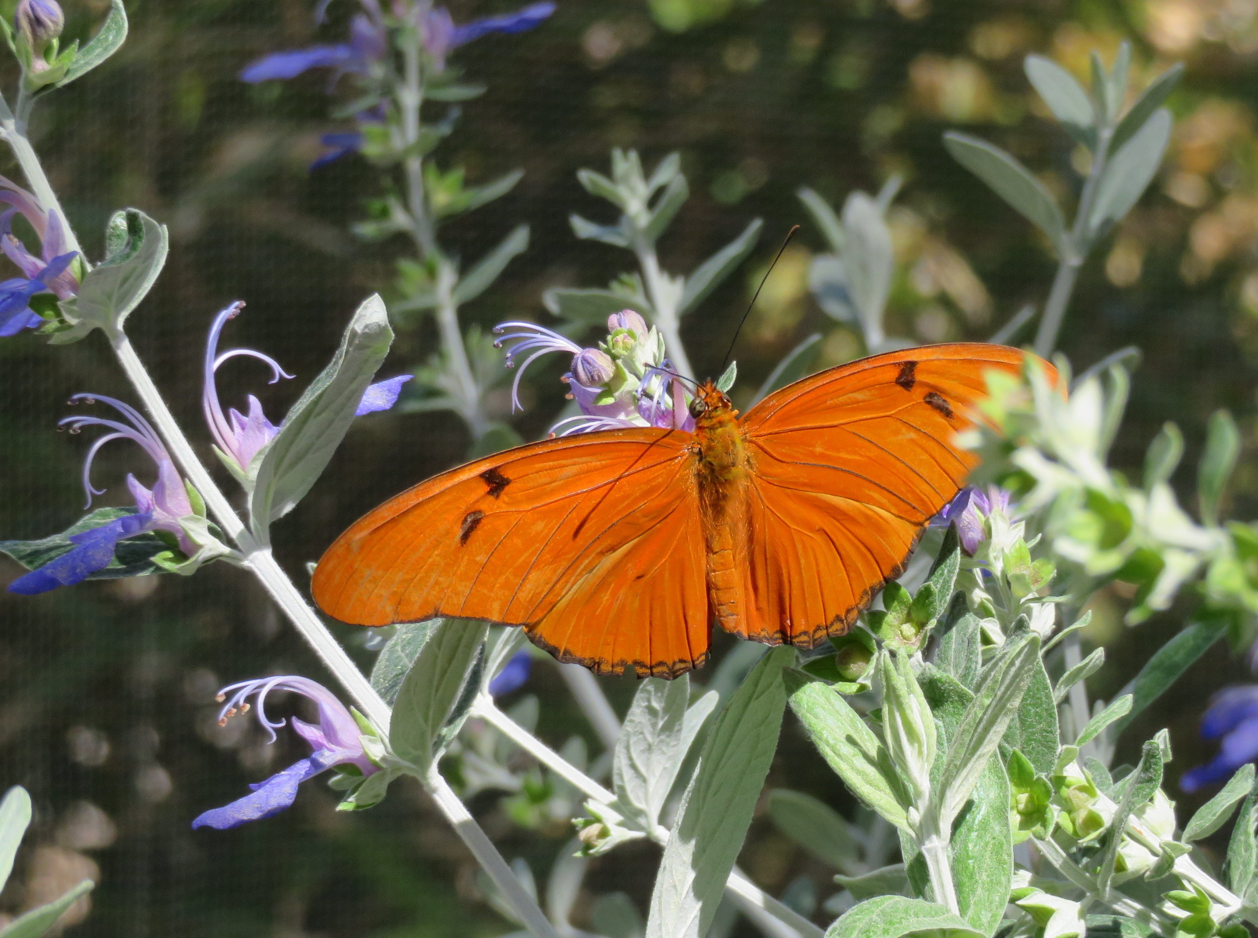 Julias seemed to be the most abundant and active butterflies currently in residence.