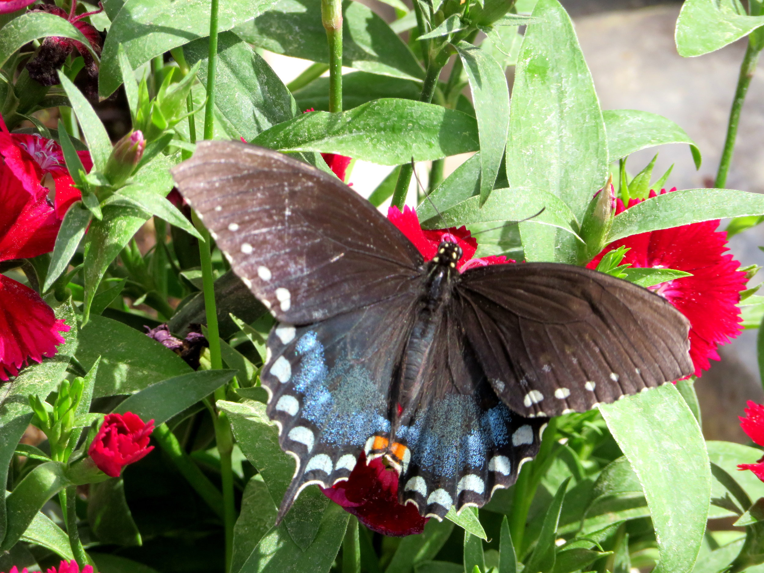 Spicewing swallowtail