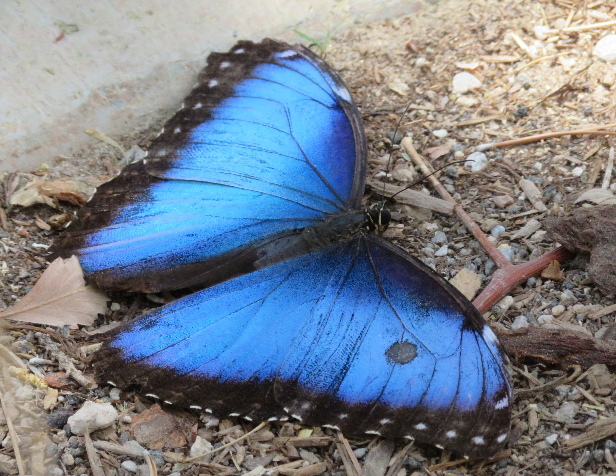 Blue morphos are brilliant, but it's hard to catch them with their wings open.
