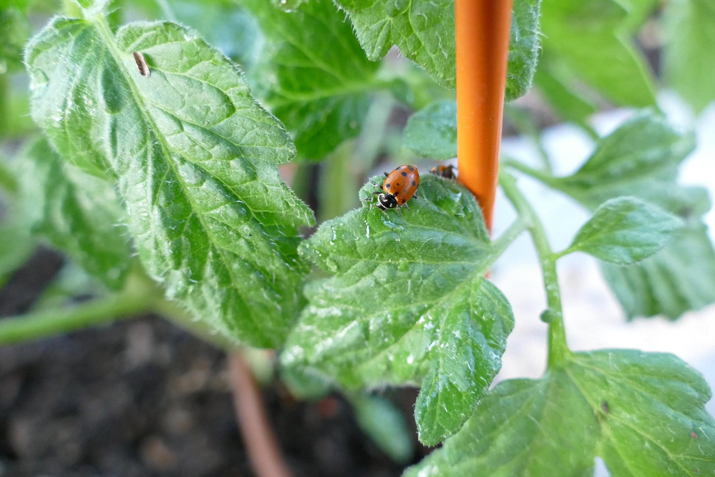 ladybug on tomato plant.JPG