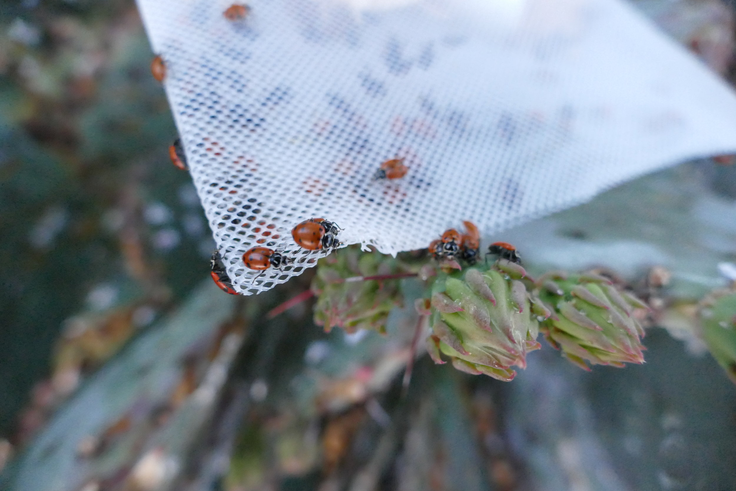 Hoping these ladies will enjoy eating up all those nasty mealy bugs on the prickly pear