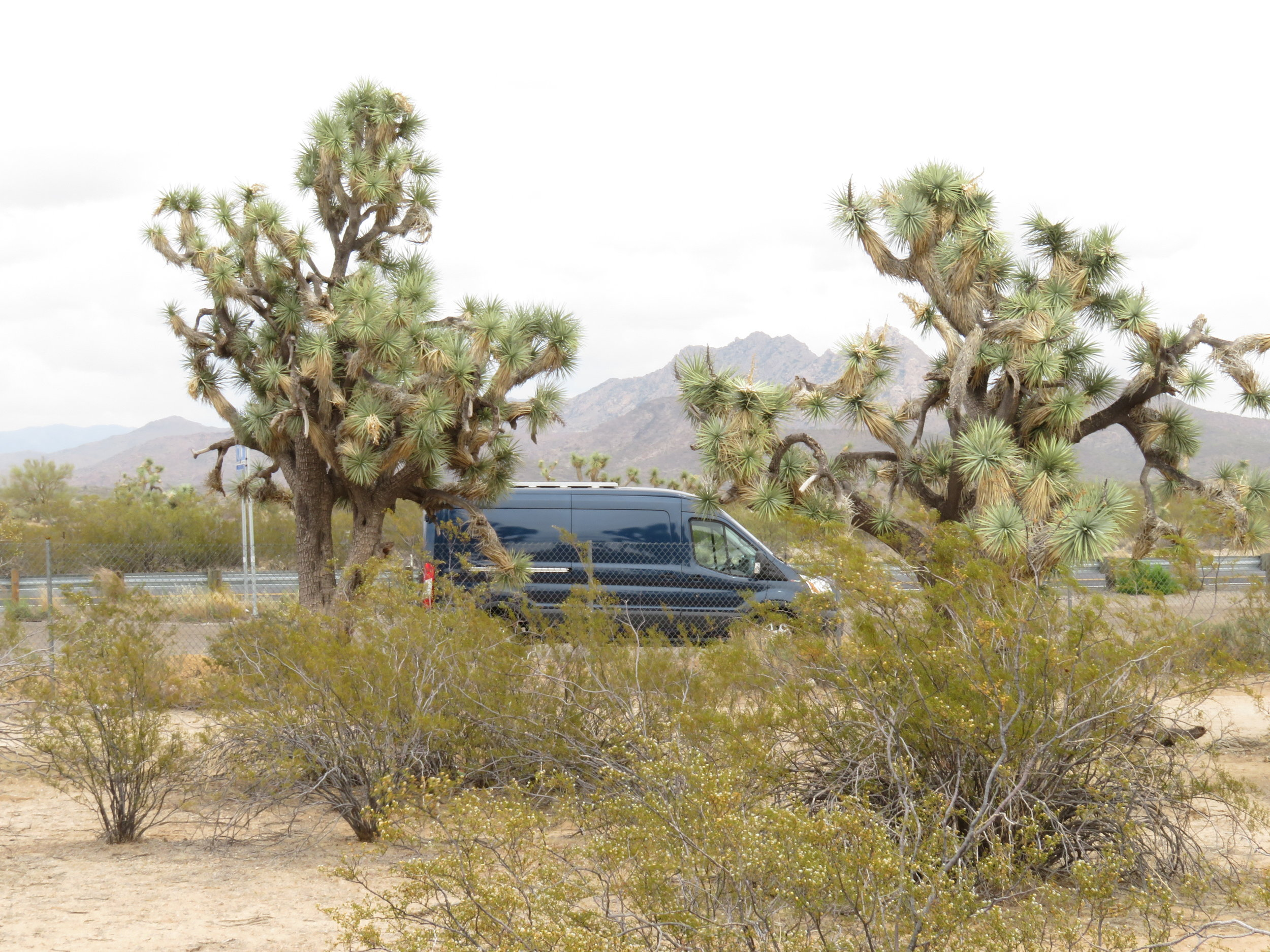 Blue and the Joshua trees