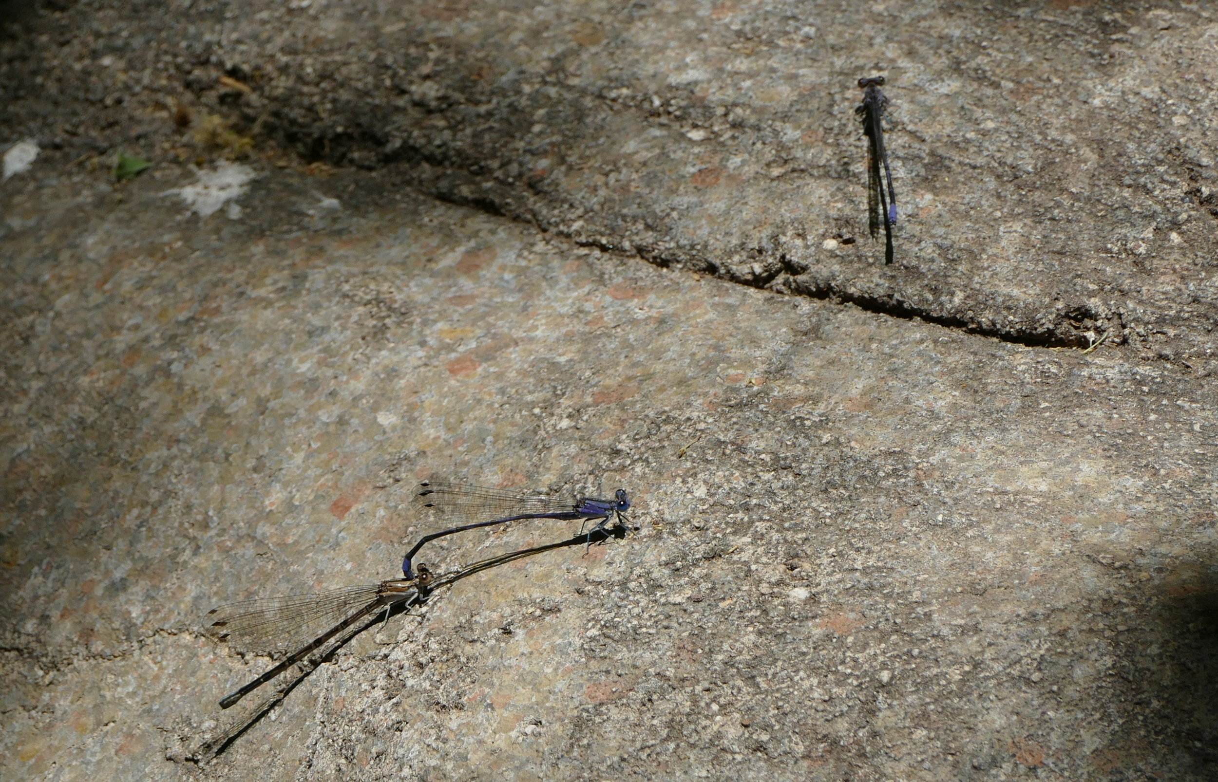 Even the damselflies and hummers seemed logy with the afternoon heat.