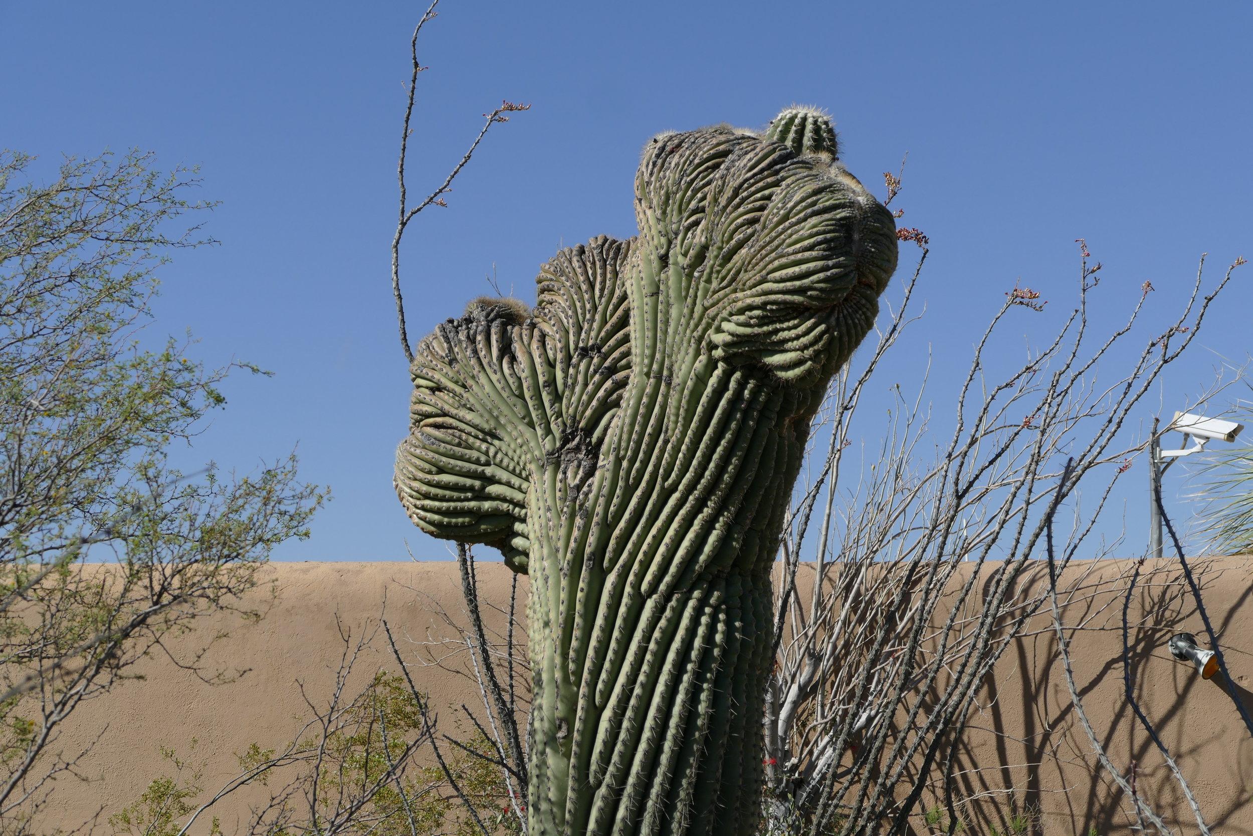 Rare cristate saguaro