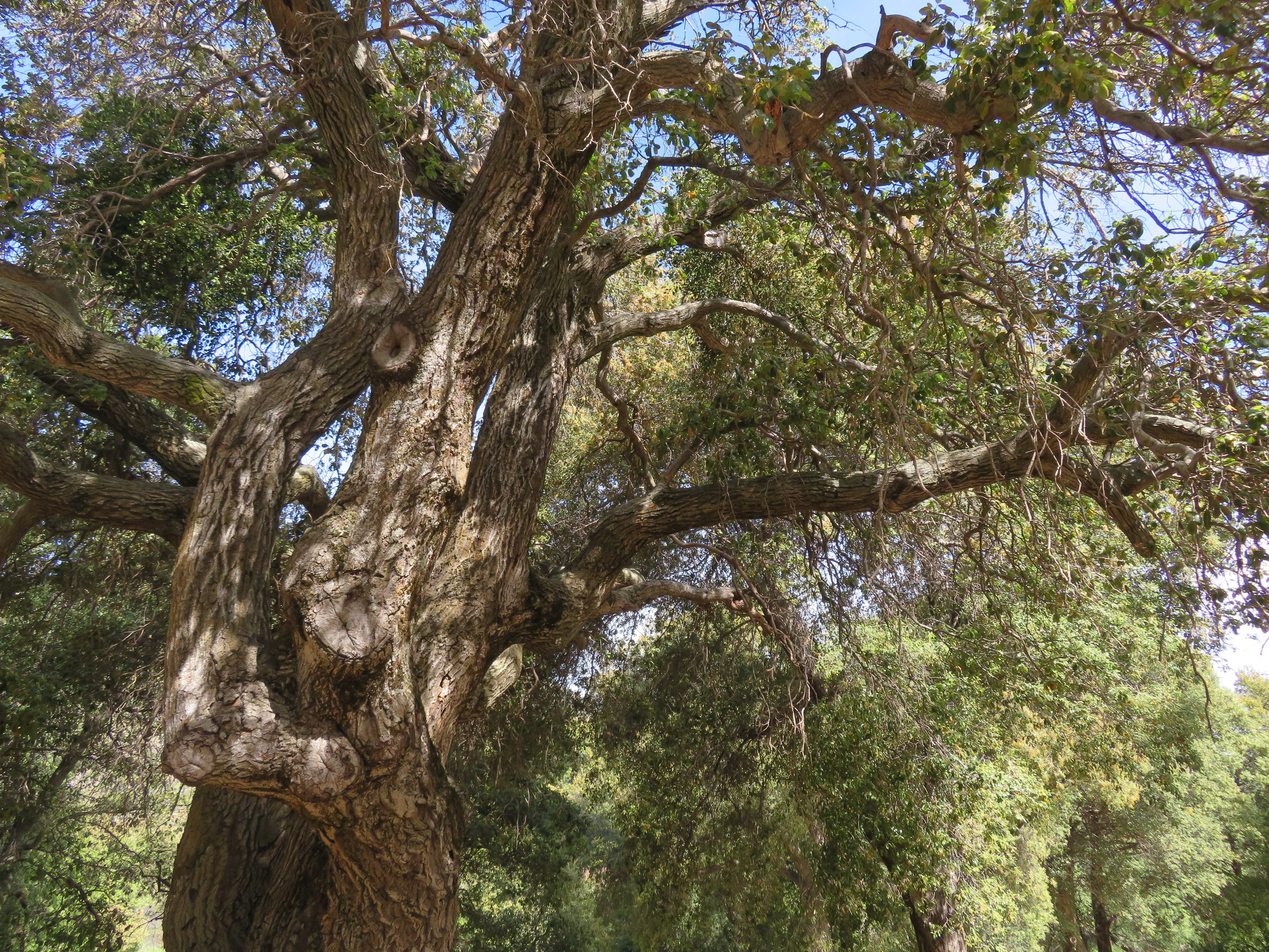 Coast live oak at Cibbet Flats Campground estimated to be ~350 years old.