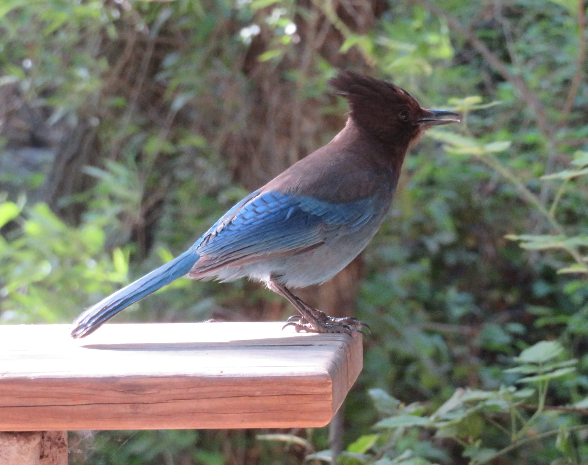 A low-flying Steller's jay buzzed Blue's roof before landing on our picnic table.