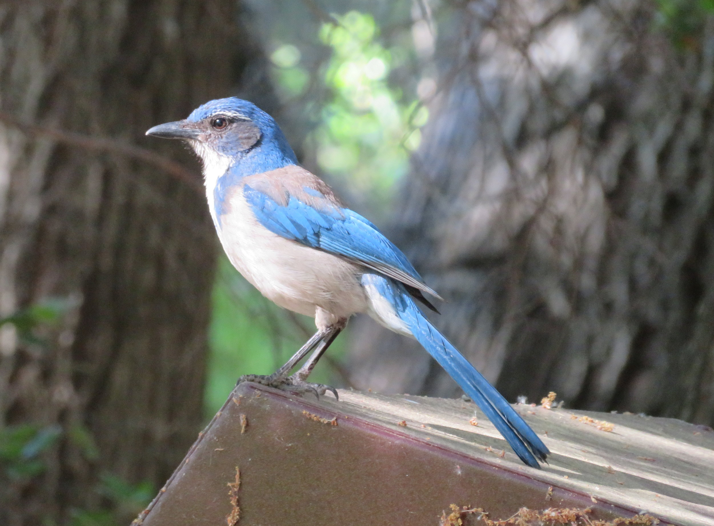 Scrub jays are beautiful, but mischievous, snatching anything left on our picnic table.