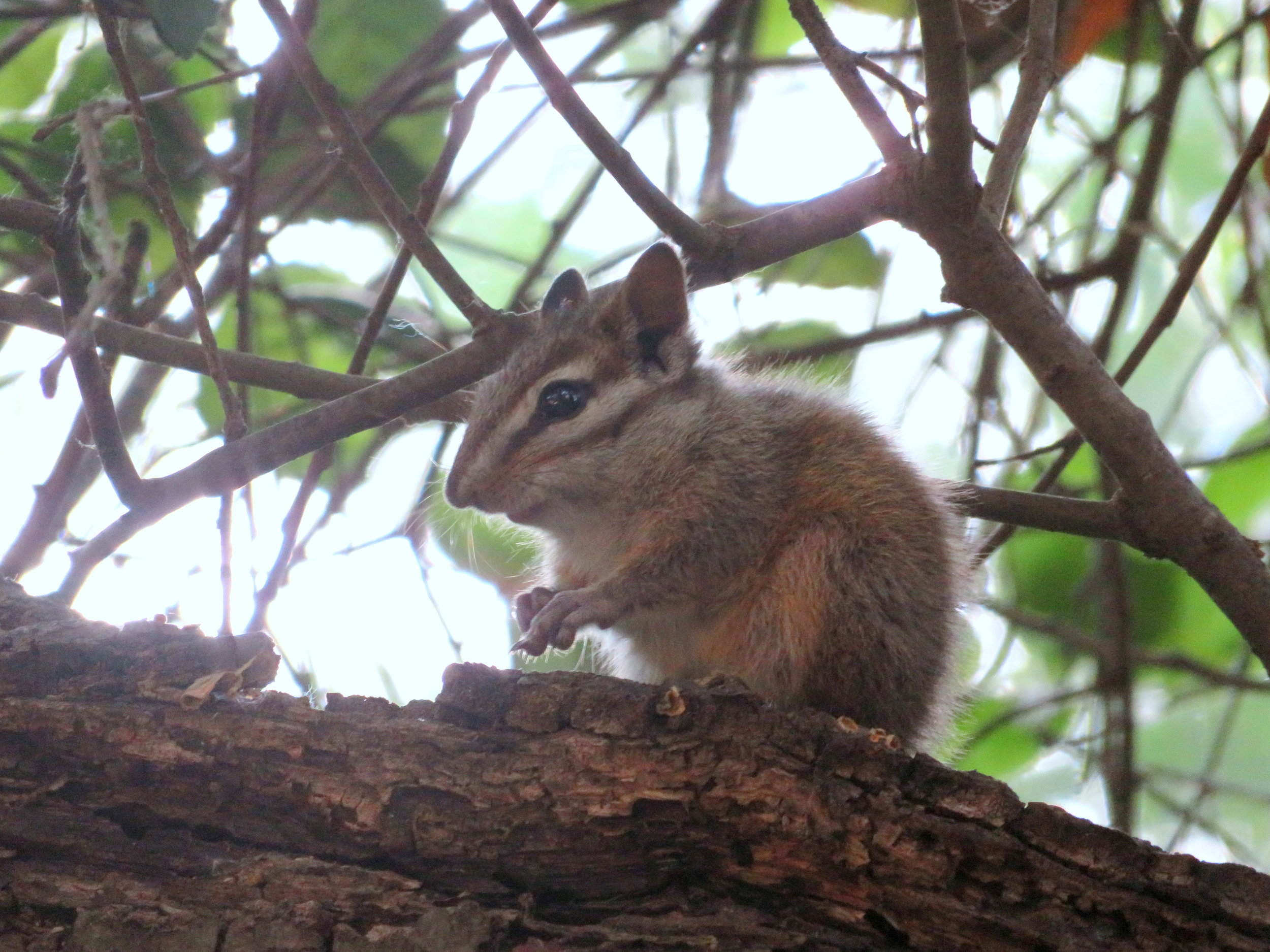 A little chipmunk gave us the once over, but didn't stray too far from his branch.