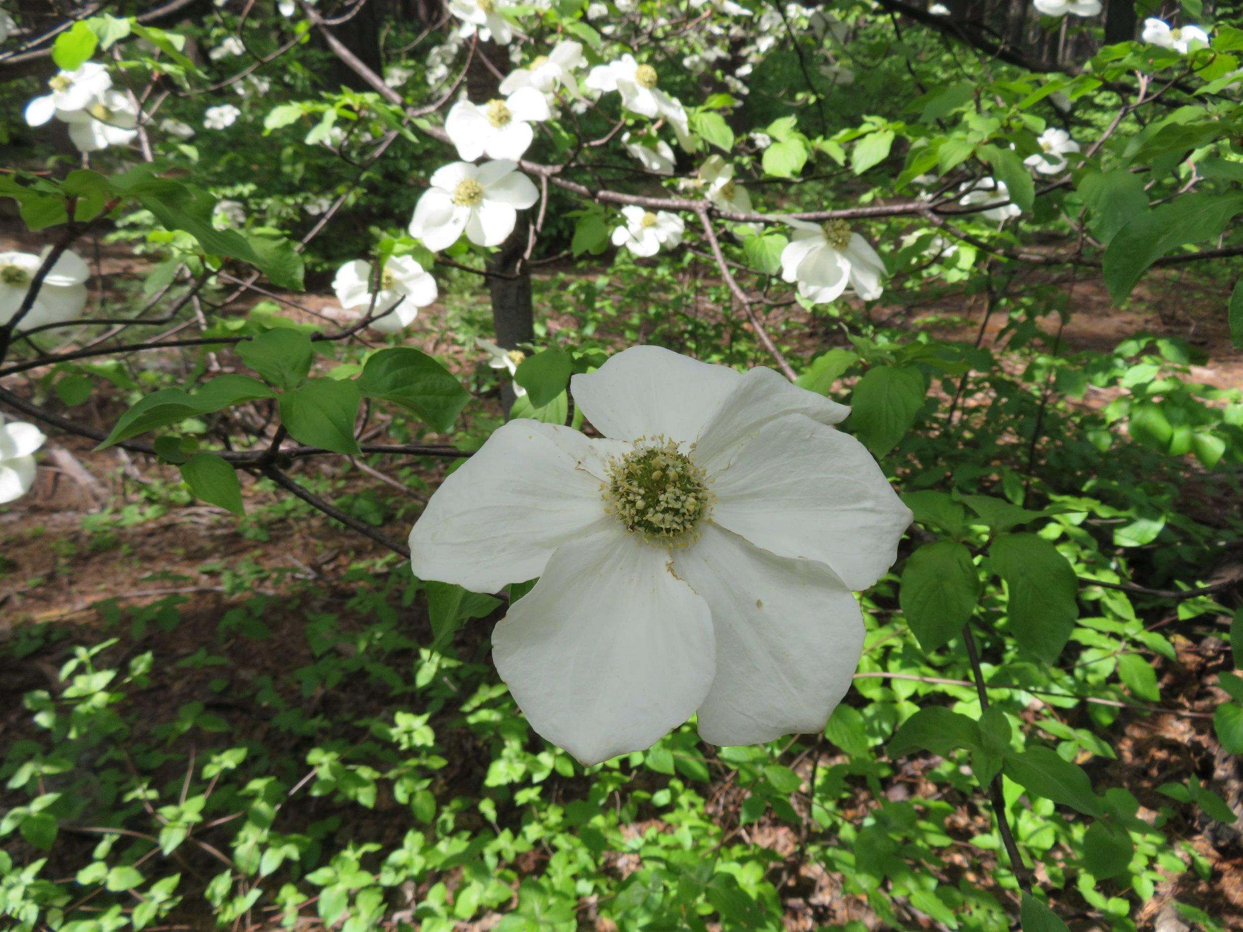 Wildflowers were in bloom and the mountain (aka Pacific) dogwood trees were abundant and absolutely gorgeous.