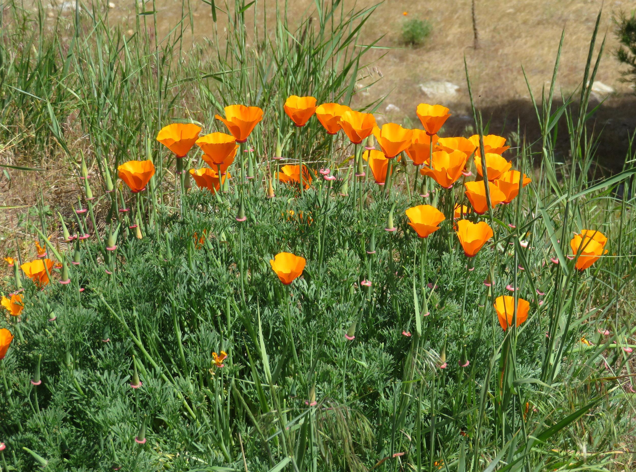California poppies welcomed us at WaKaLuu Hep Yoo campground.