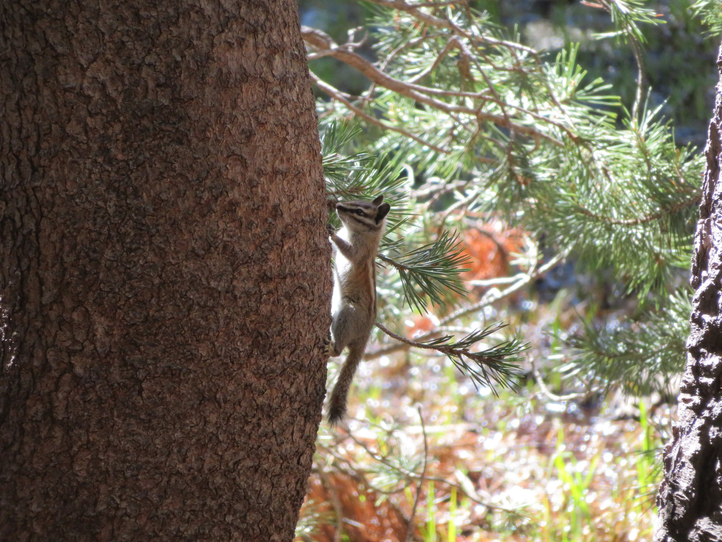 Chipmunks and chickarees ran across the trail.