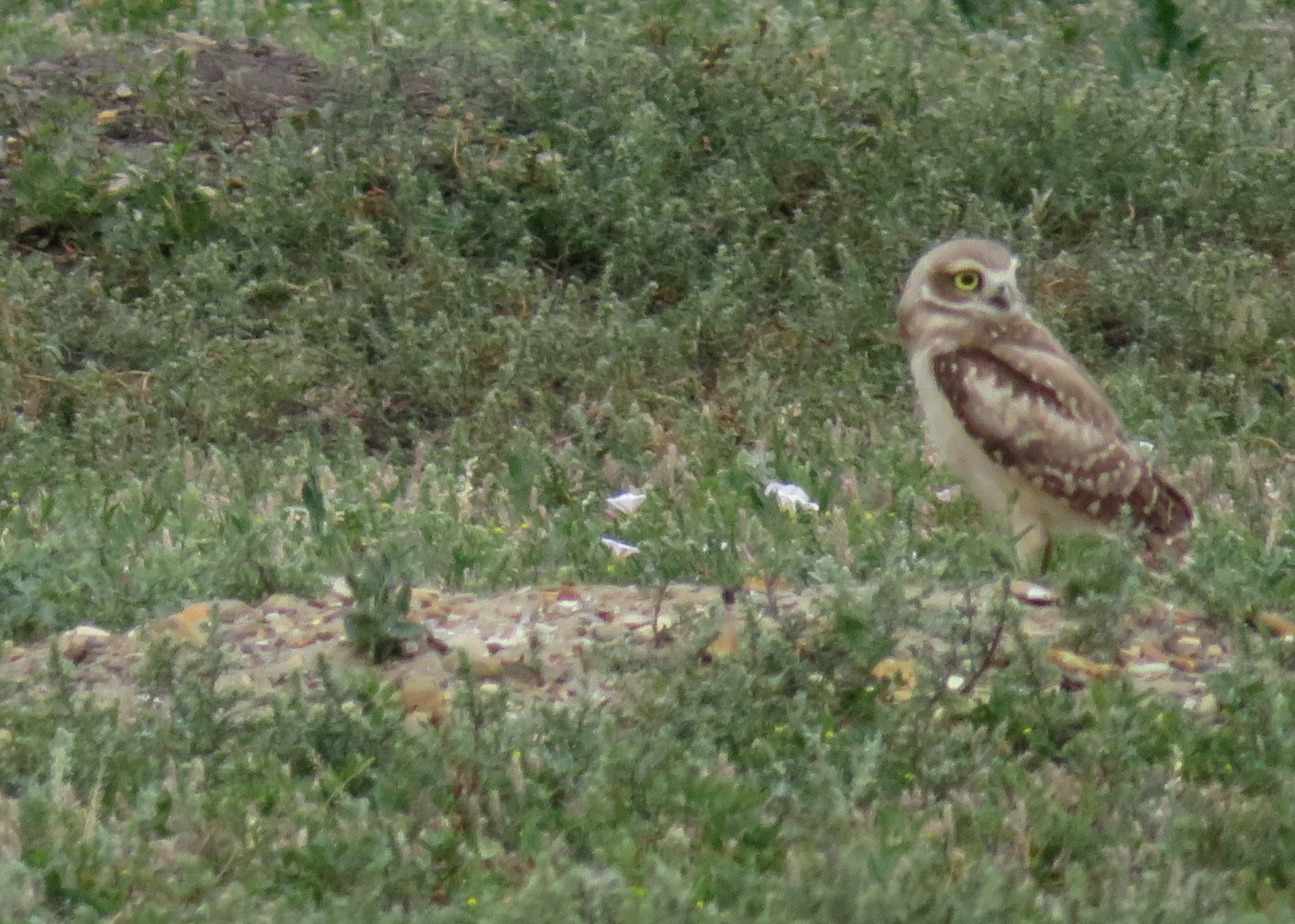 TRNP_south_burrowing owl.JPG