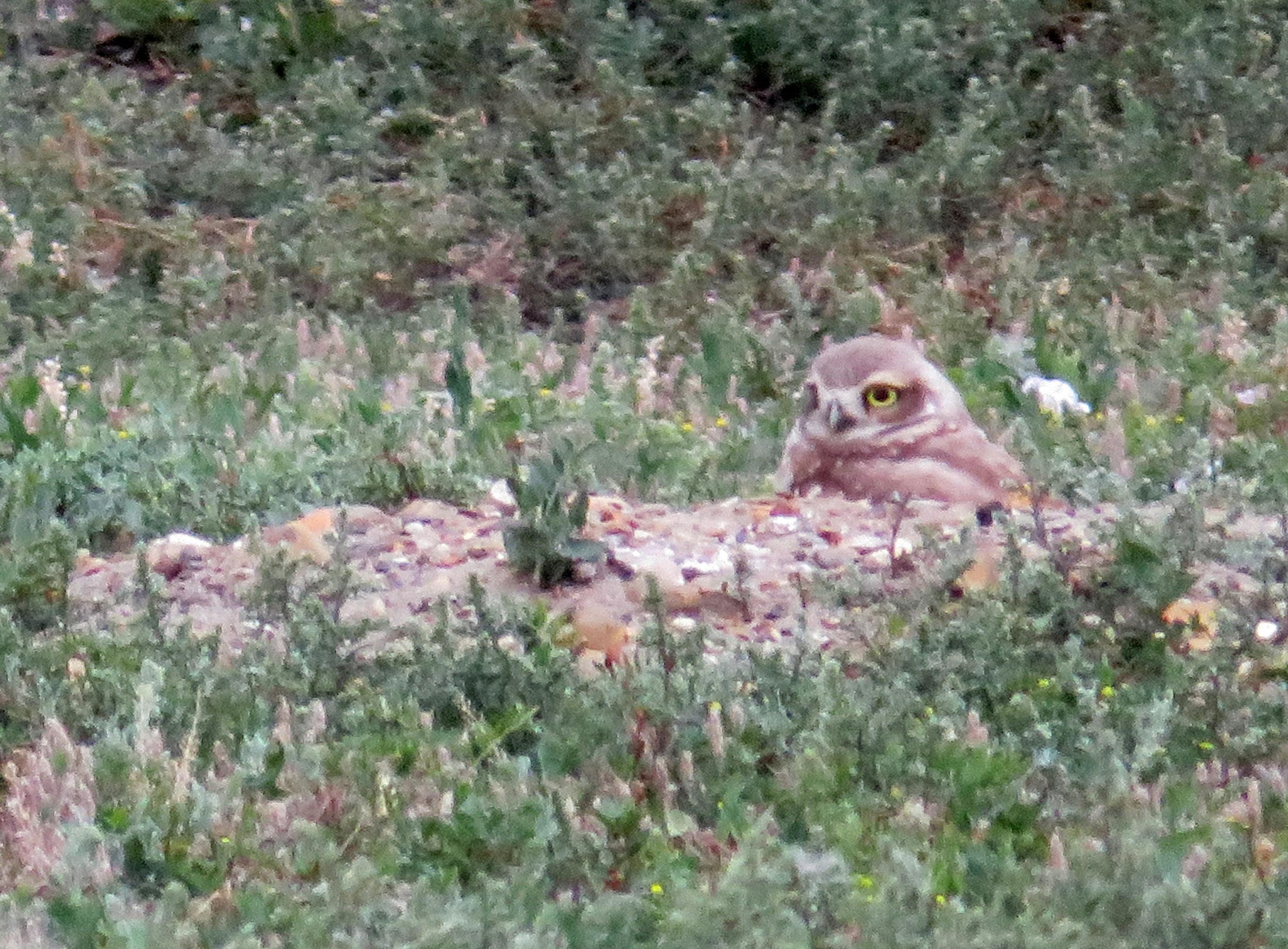 TRNP_south_burrowing owl1.JPG