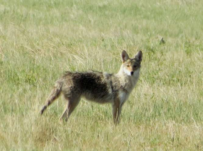 In the past, we'd sometimes see one coyote on our morning walk. Now, we see as many as four, five or even six.