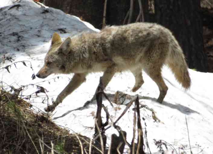 We've spotted coyotes during most of our travels around the USA.