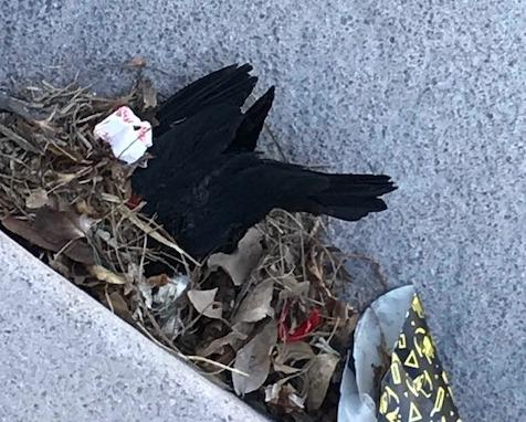 penny_red winged blackbird.jpg